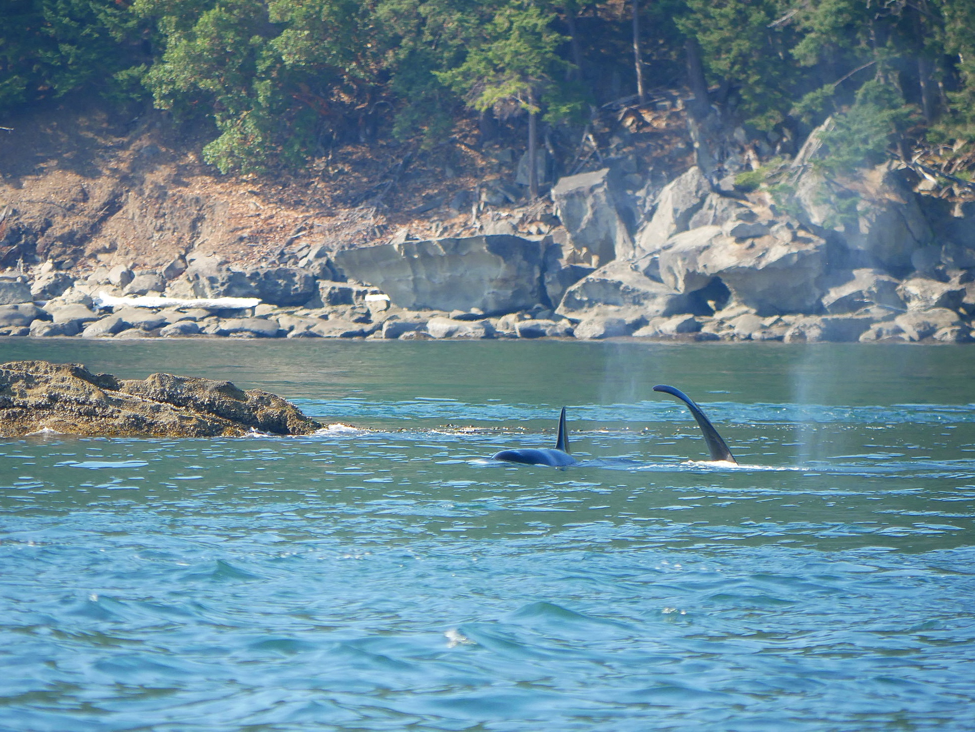 Galiano and Nootka hanging out in the kelp beds. Photo by Rebeka Pirker (3.30)