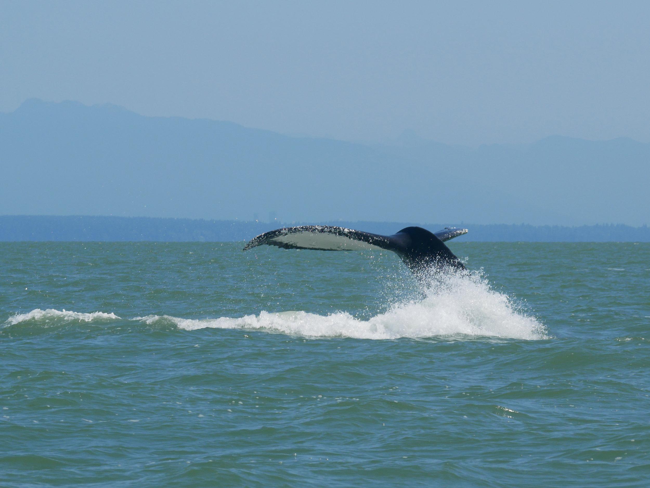 Anvil mid tail slap! Photo by Cheyenne Brewster (10:30).