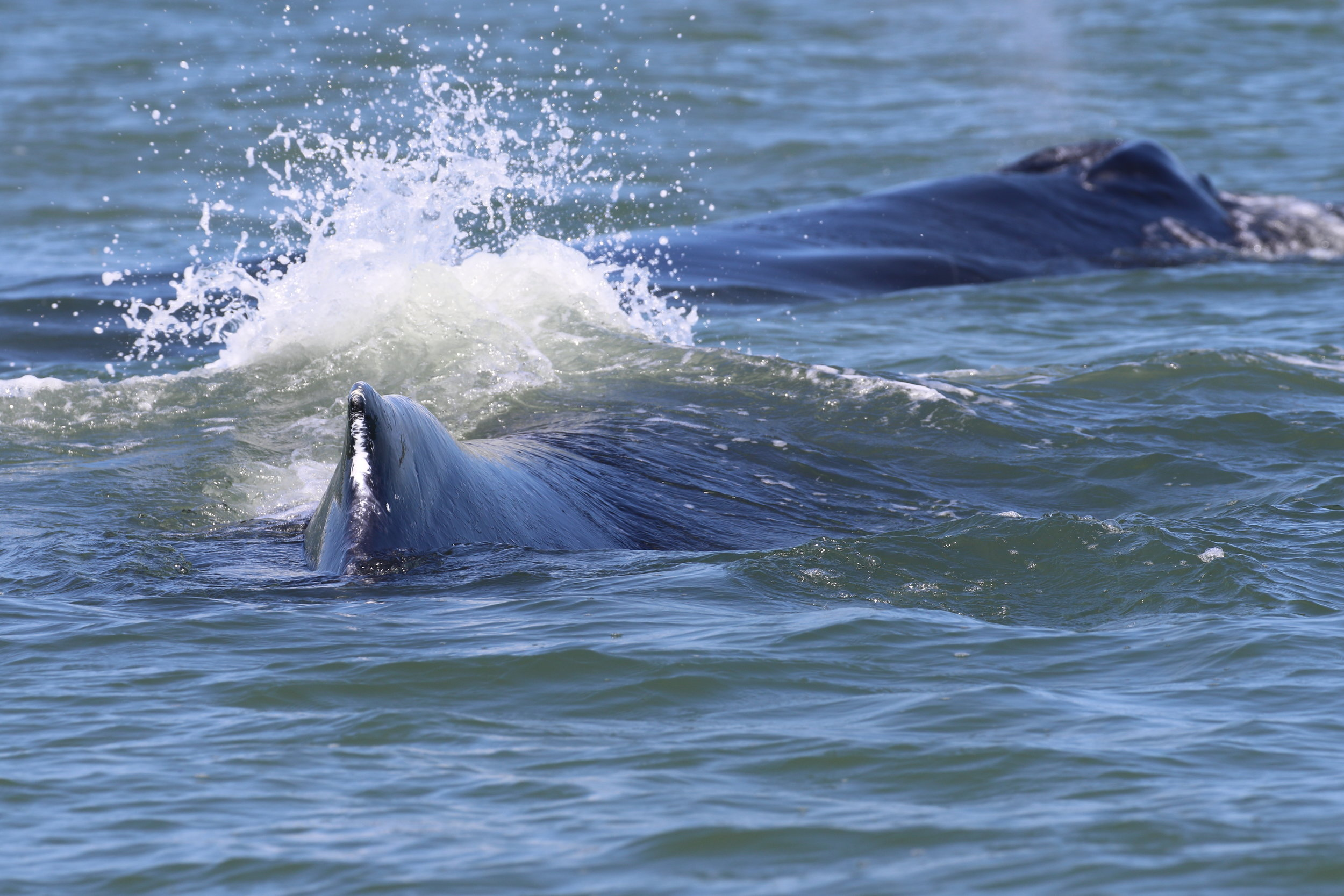 Too many whales for our telephoto lens! Photo by Natalie Reichenbacher (10:30).