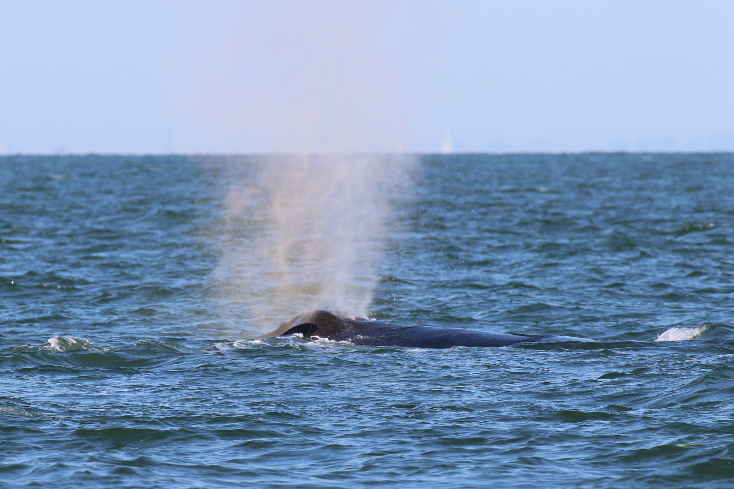 Fire breathing humpback alert! This blow caught the sun just right to make it a reddish-orange. Photo by Natalie Reichenbacher (3:30).