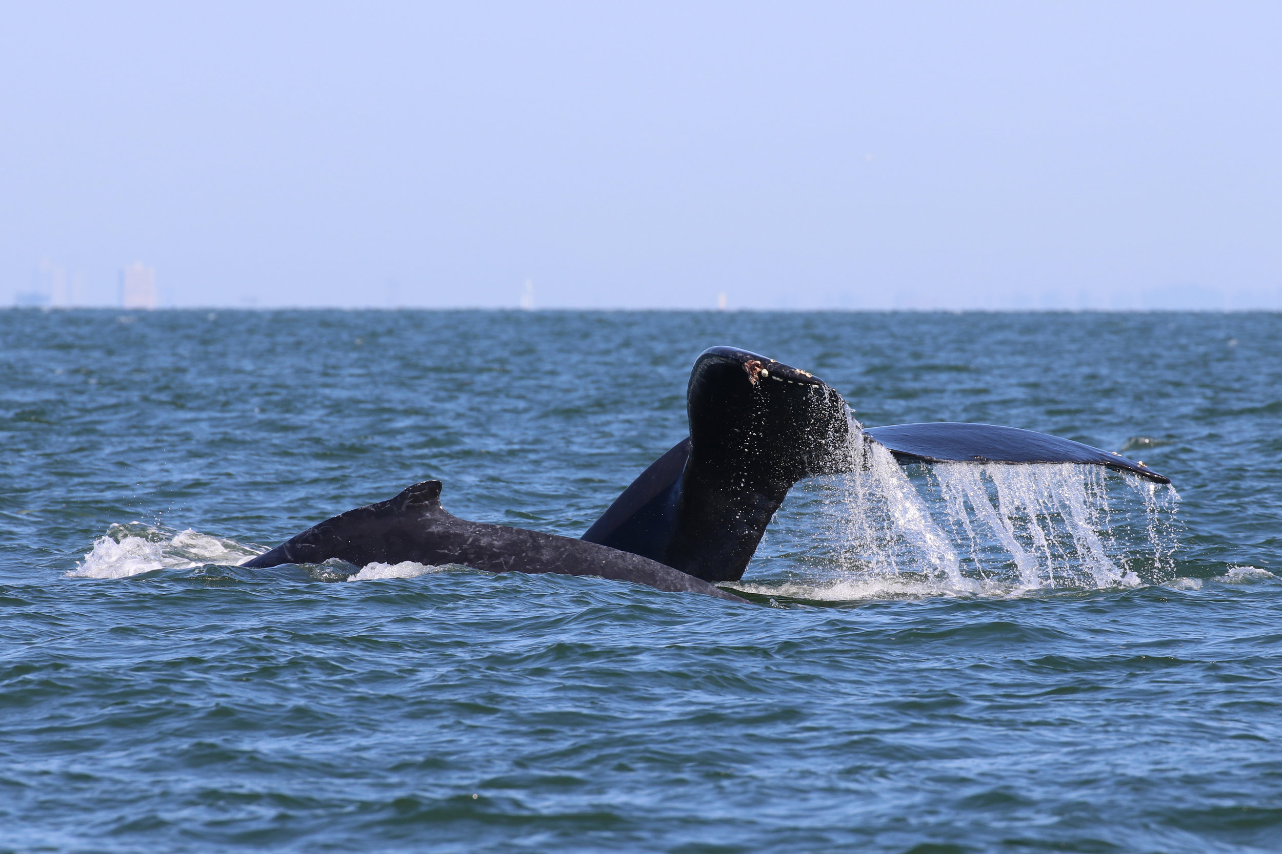 """BCX1210 """"Slate"""" (right)and her calf (left)! Photo by Natalie Reichenbacher (3:30)."""