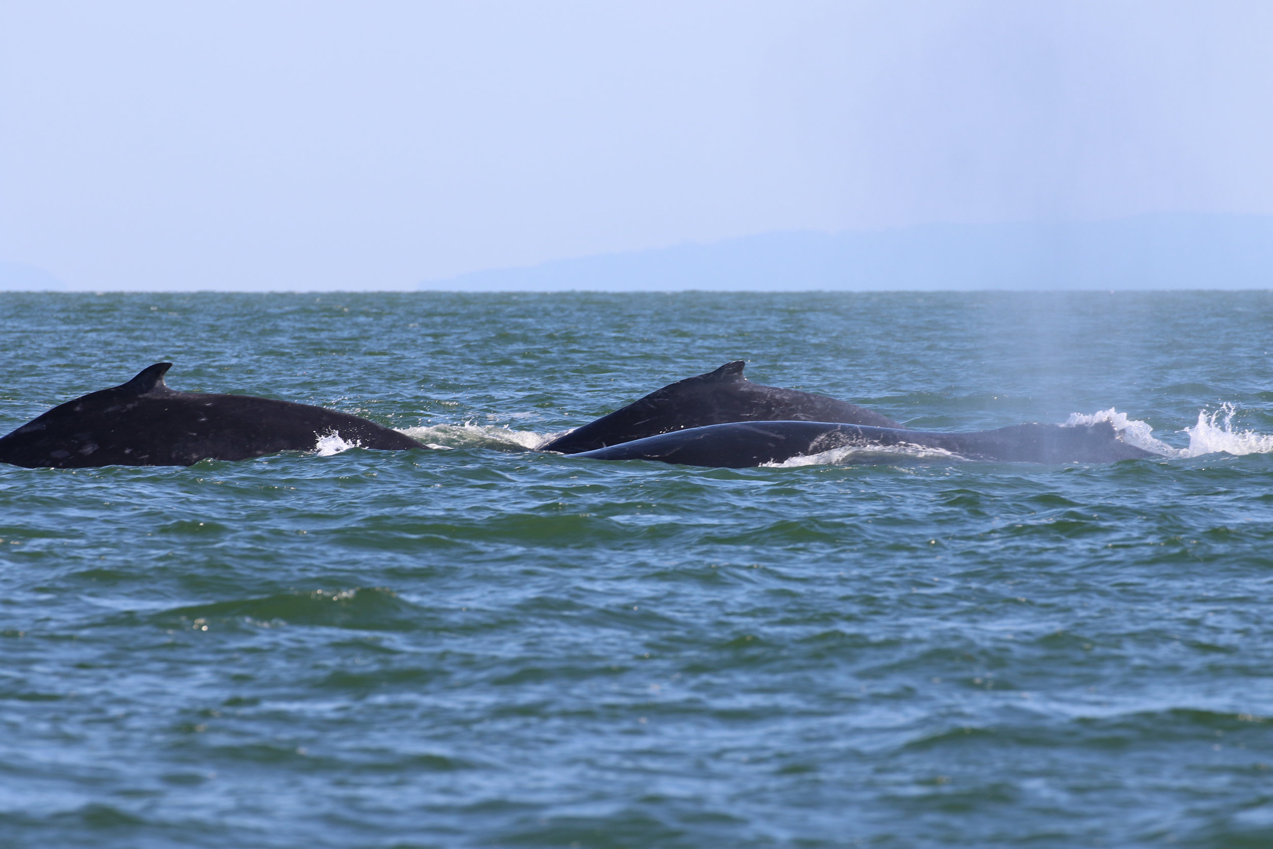 """Here we have BCX1210 """"Slate"""", her calf, and BCZ0298 """"Split Fin"""" surfacing together from left to right. Photo by Natalie Reichenbacher (3:30)."""