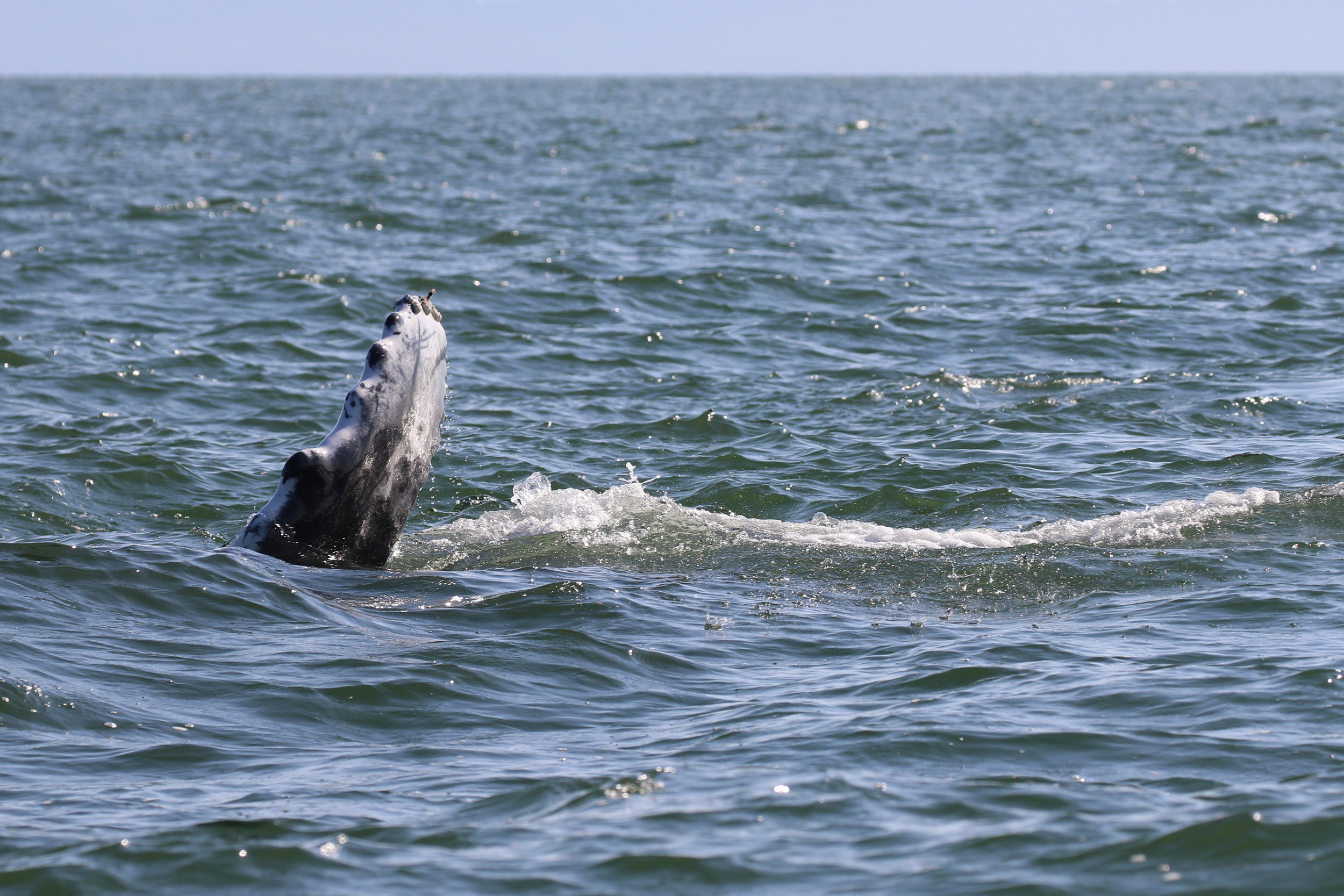 Slates calf waving at our boat with it's pectoral fin. Photo by Natalie Reichenbacher (3:30).
