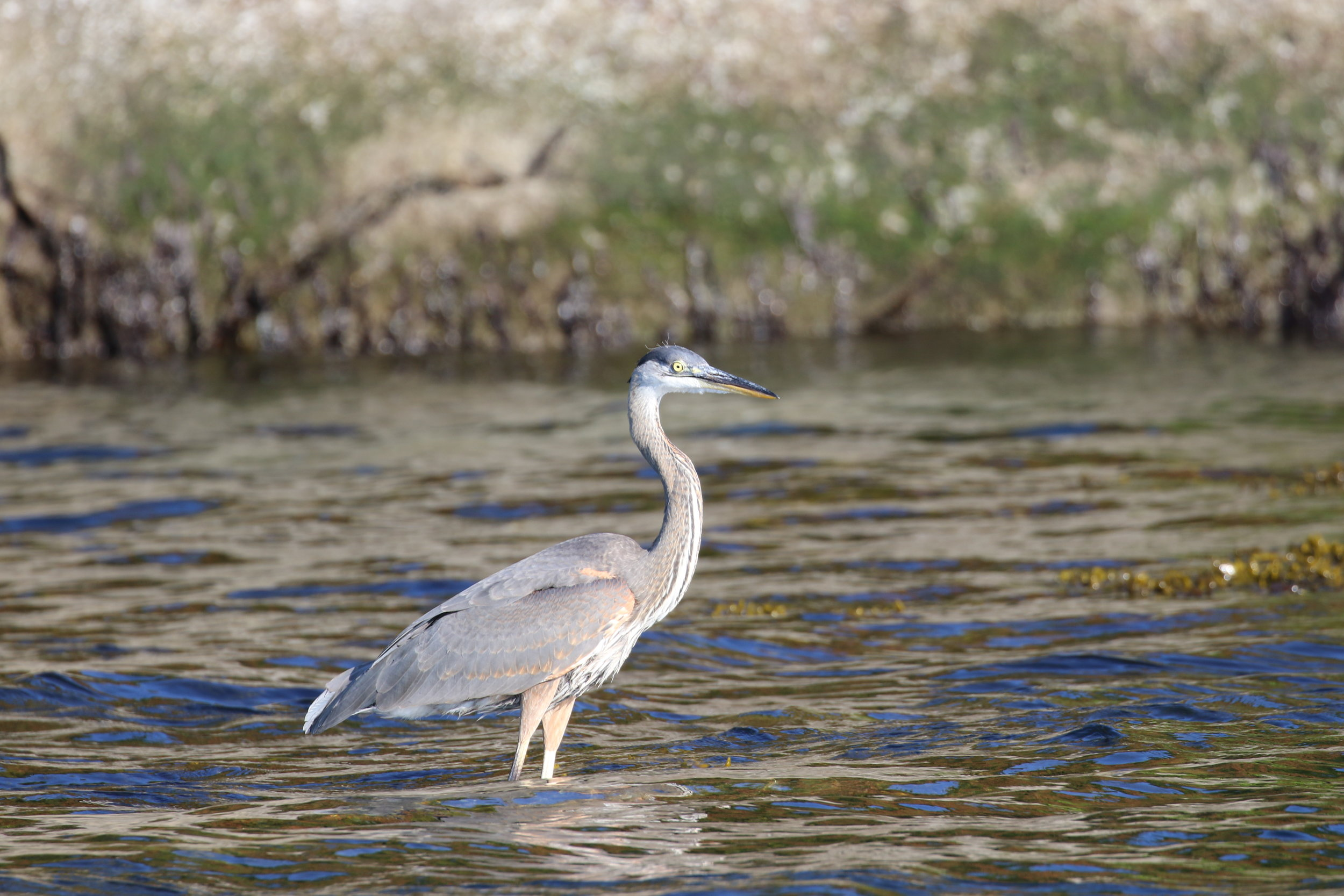Great Blue Heron. Photo by Rebeka Pirker (3:30)