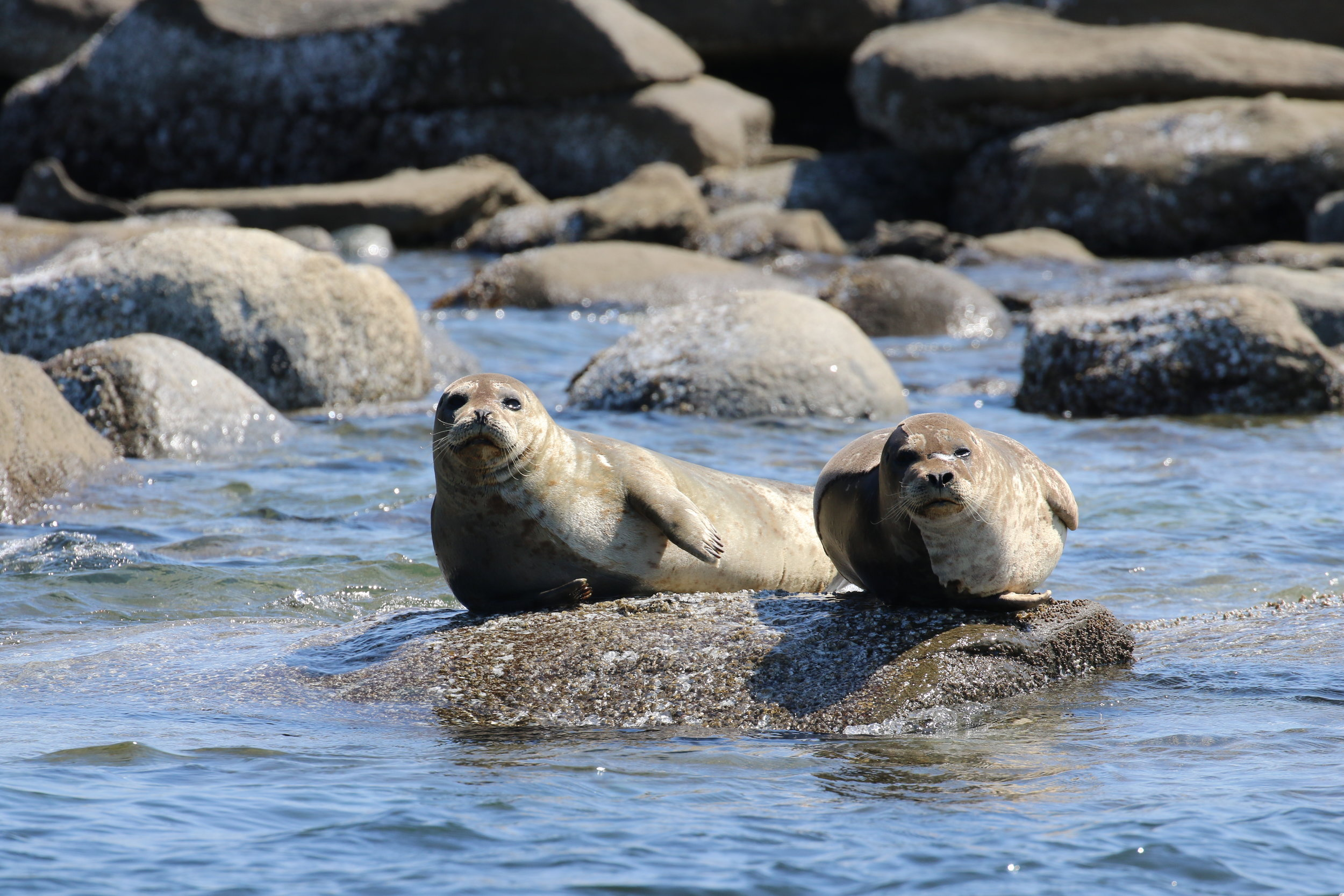 Harbour seals at a haul out zone. Photo by Jilann Campbell (10:30).