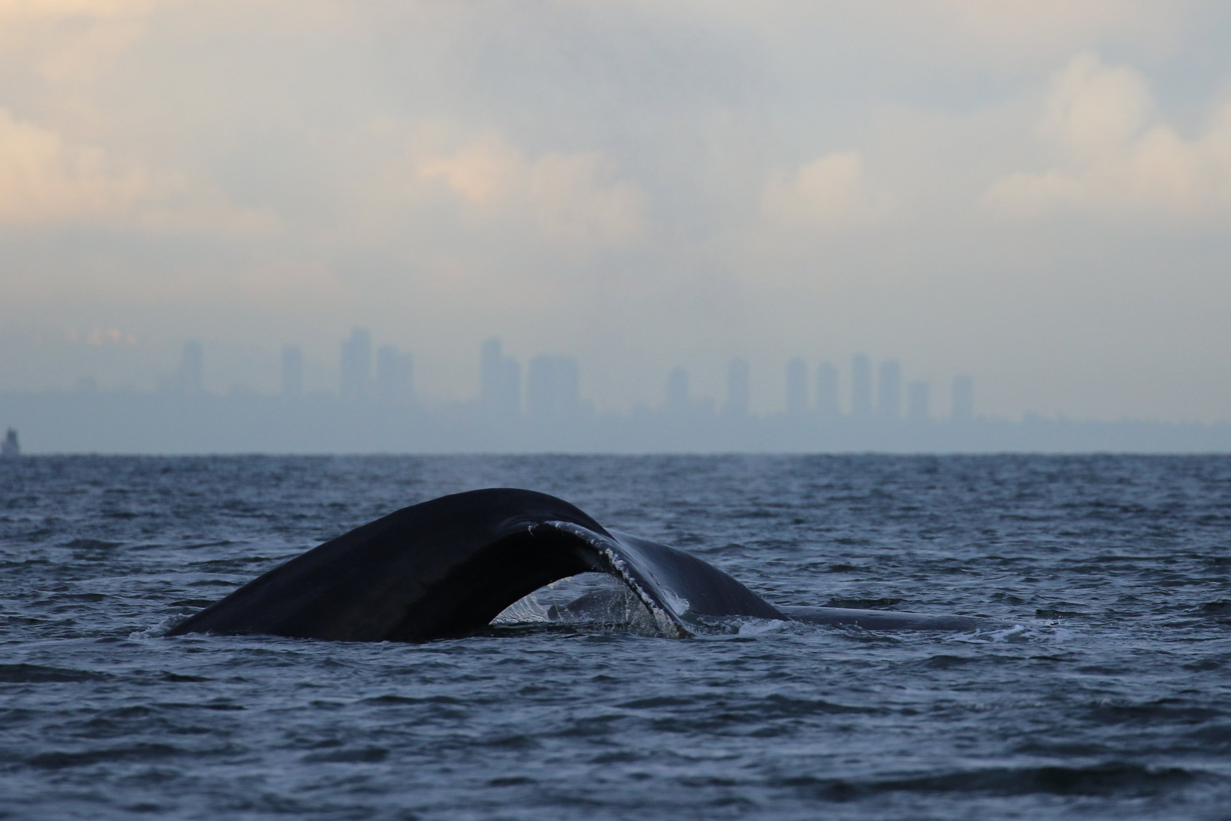 Another two humpbacks with Vancouvers skyline in the background. Photo by Val Watson.