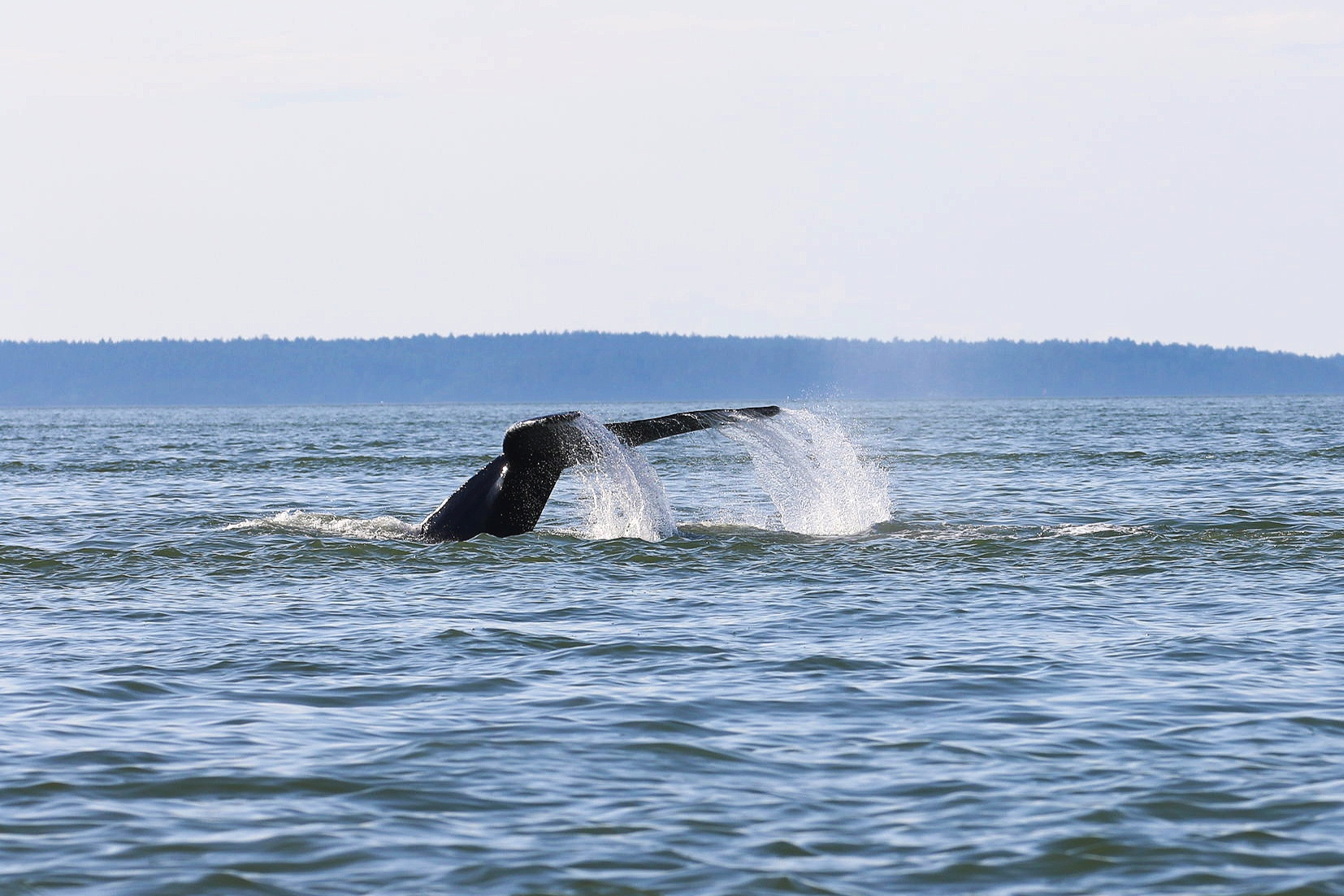 A humpback tail spraying water as the get ready for a deep dive. Photo by Rodrigo Menezes (3.30)