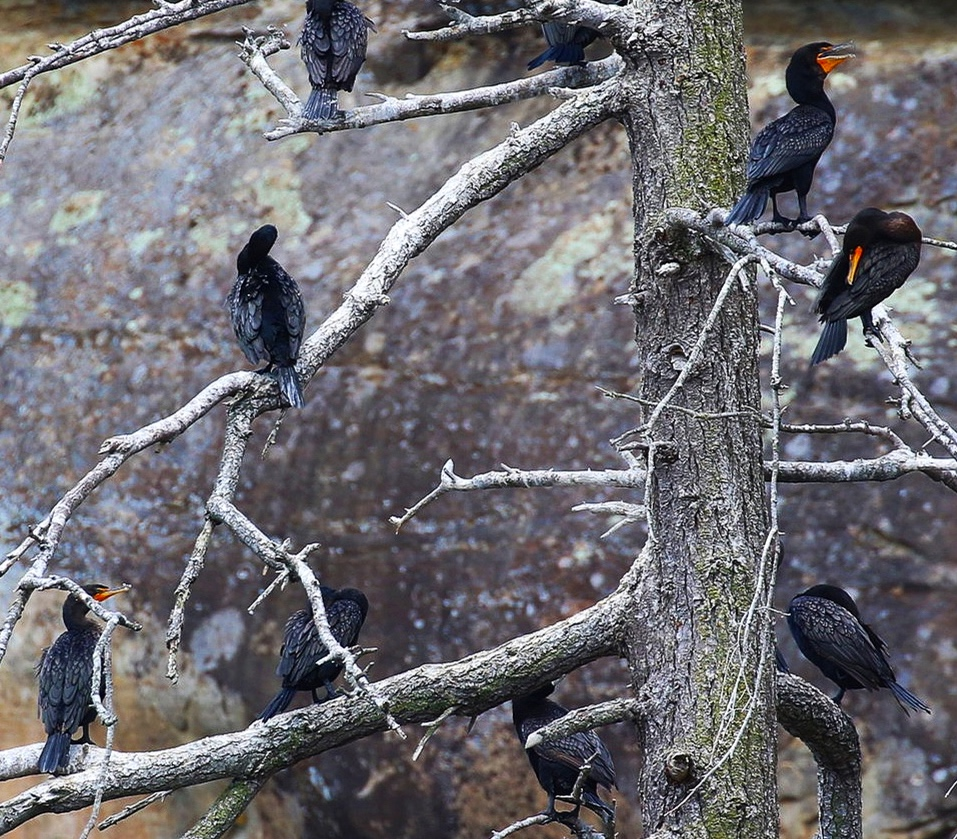 Double Crested Cormorants perched on the Gabriola Island cliffs. Photo by Rodrigo Menezes (10.30)
