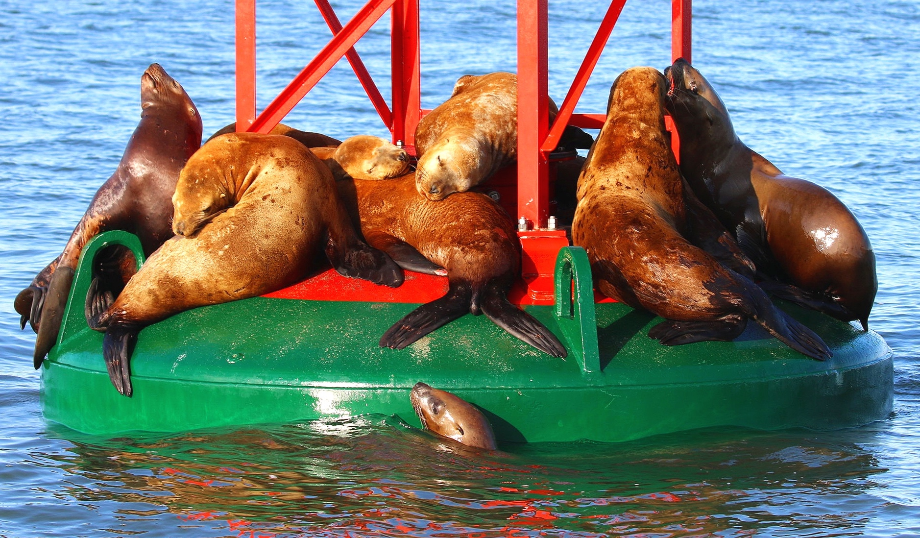 Steller Sea Lions swimming, sleeping, and fighting for the best sleeping spot. Photo by Rodrigo Menezes (3.30)