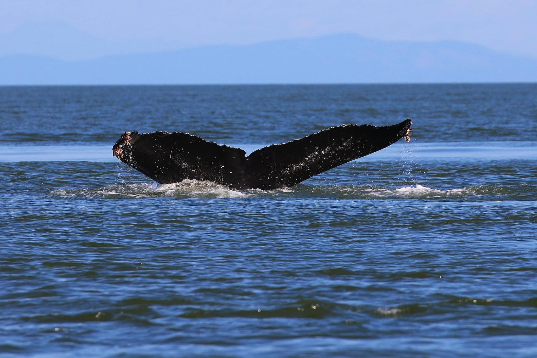 "BCY0660 - ""Raptor"" diving. Photo by Rodrigo Menezes (3:30)."