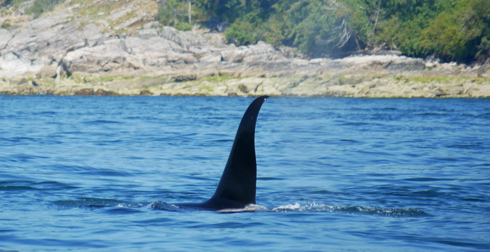 """T102 - """"Beardslee"""". Notice the distinct curve in the tip of his dorsal? Photo by Cheyenne Brewster (10:30)."""