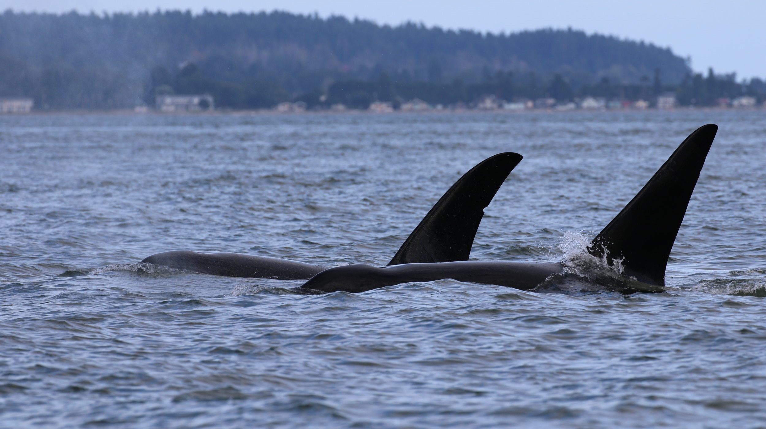 """T19B- """"Galiano"""" (back) and T19C - """"Spouter (front). Photo by Natalie Reichenbacher (3:30)."""