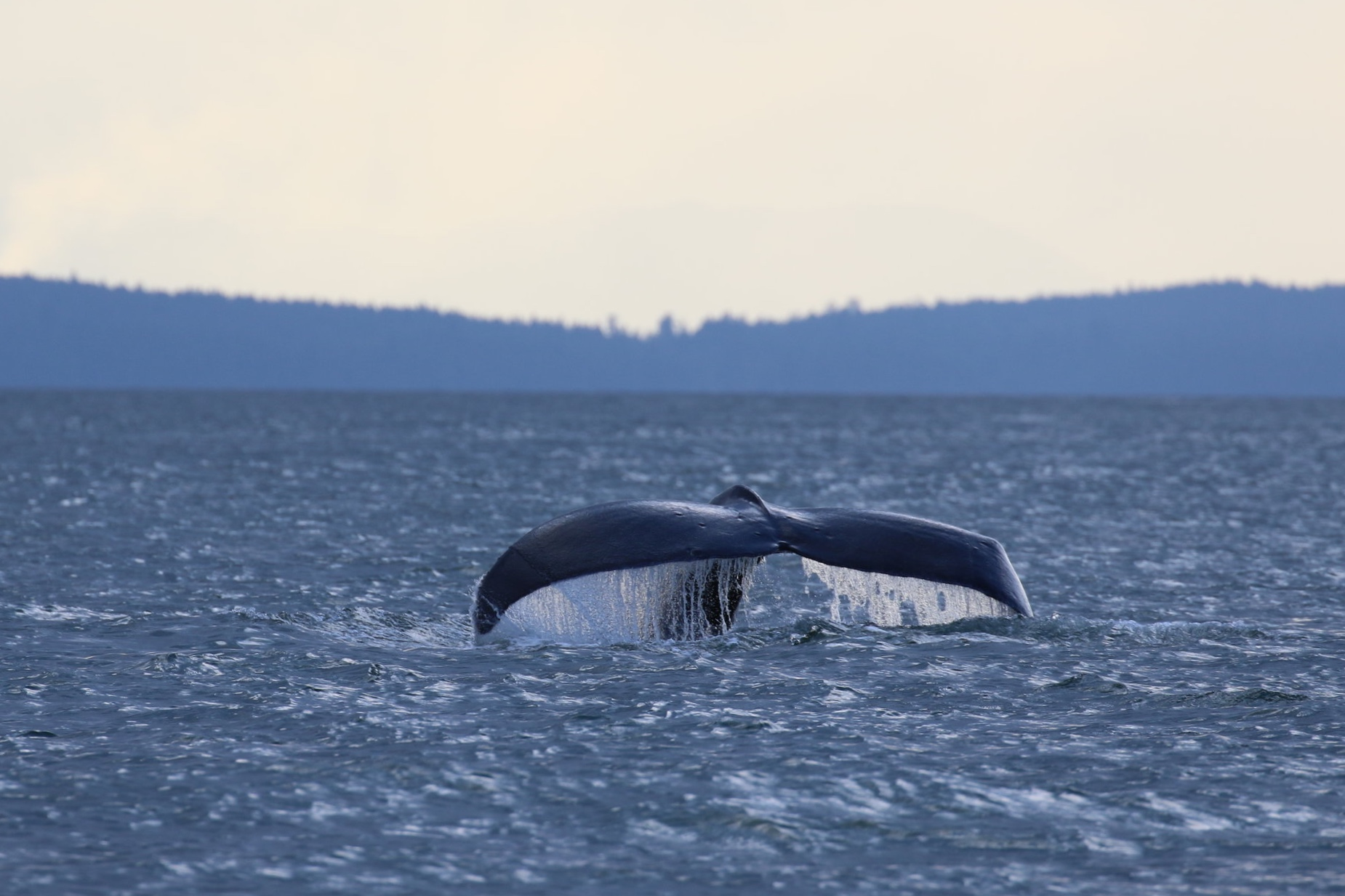 Humpbacks in the evening! Photo by Natalie Reichenbacher (3:30).