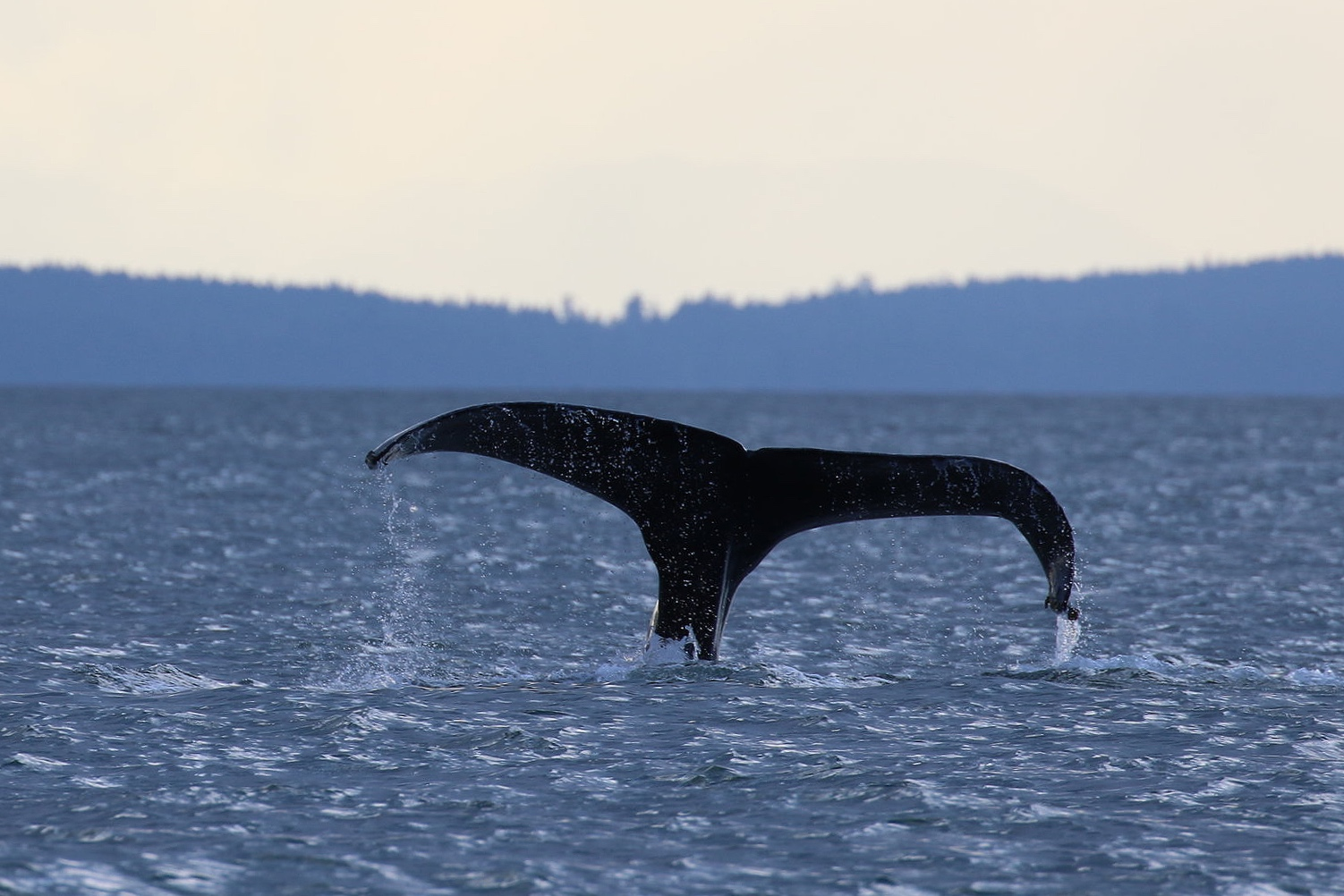 """BCX0915 - """"Fallen Knight"""". Note how curved the right side of her fluke is. Photo by Natalie Reichenbacher (3:30)."""