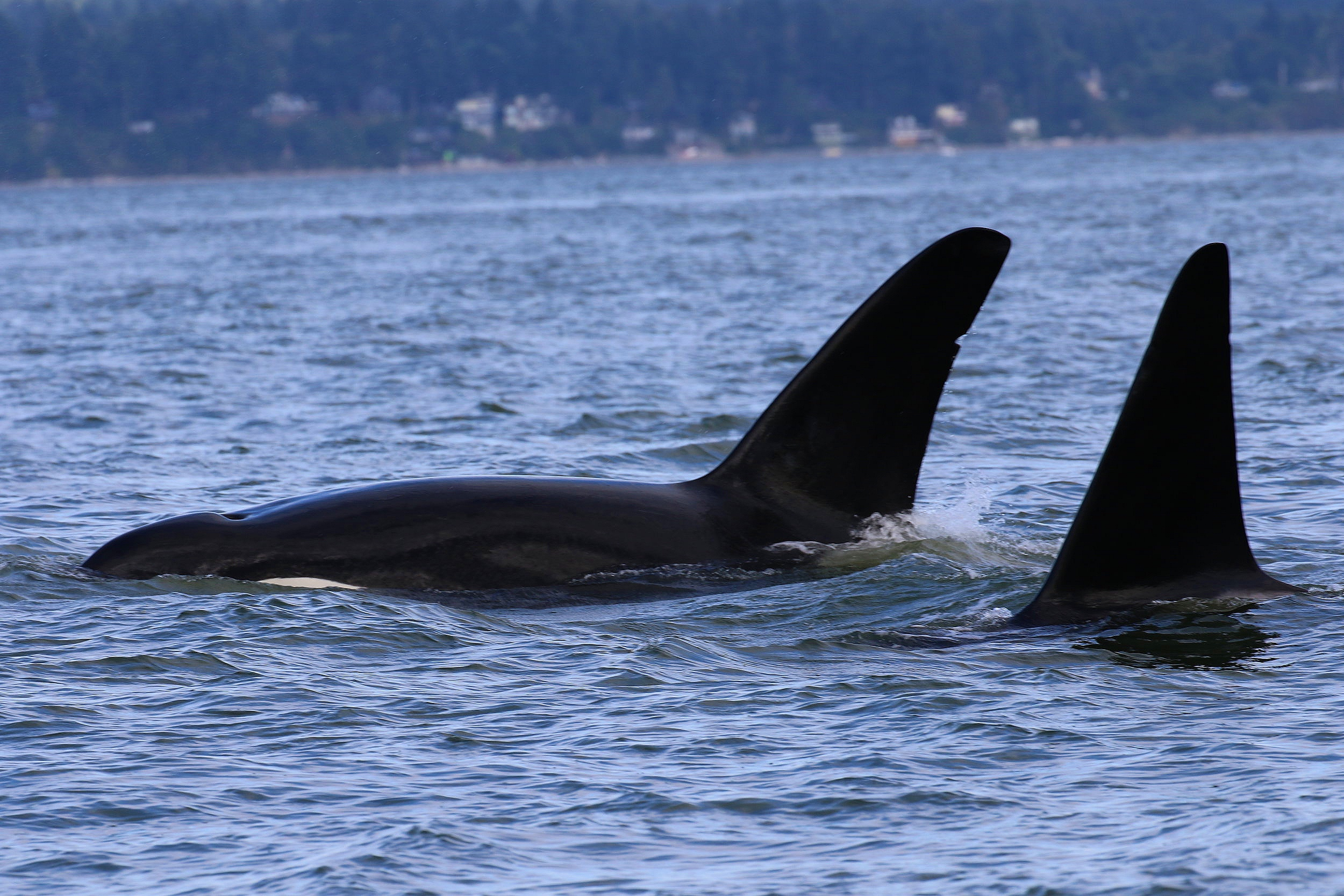 """Brothers travelling together! T19B - """"Galiano"""" (left) and T19C - """"Spouter"""" (right). Photo by Natalie Reichenbacher (3:30)."""