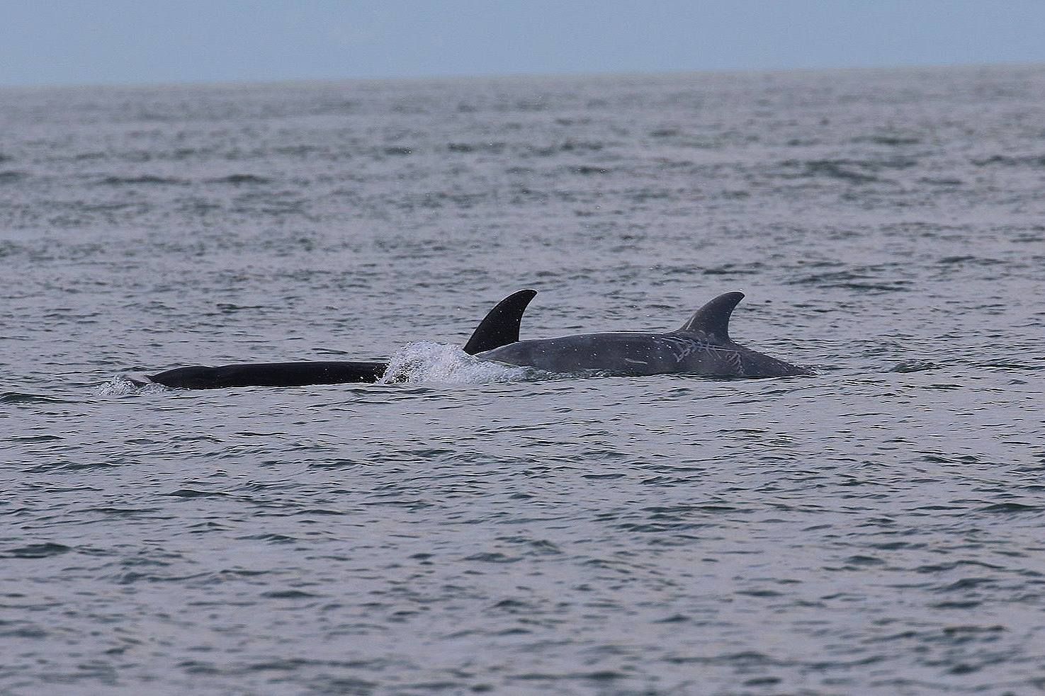"""T46B1B - """"Tl'uk"""" the white orca (front). It appears that he may be darkening in colour now. Photo by Ryan Uslu (3:30)."""