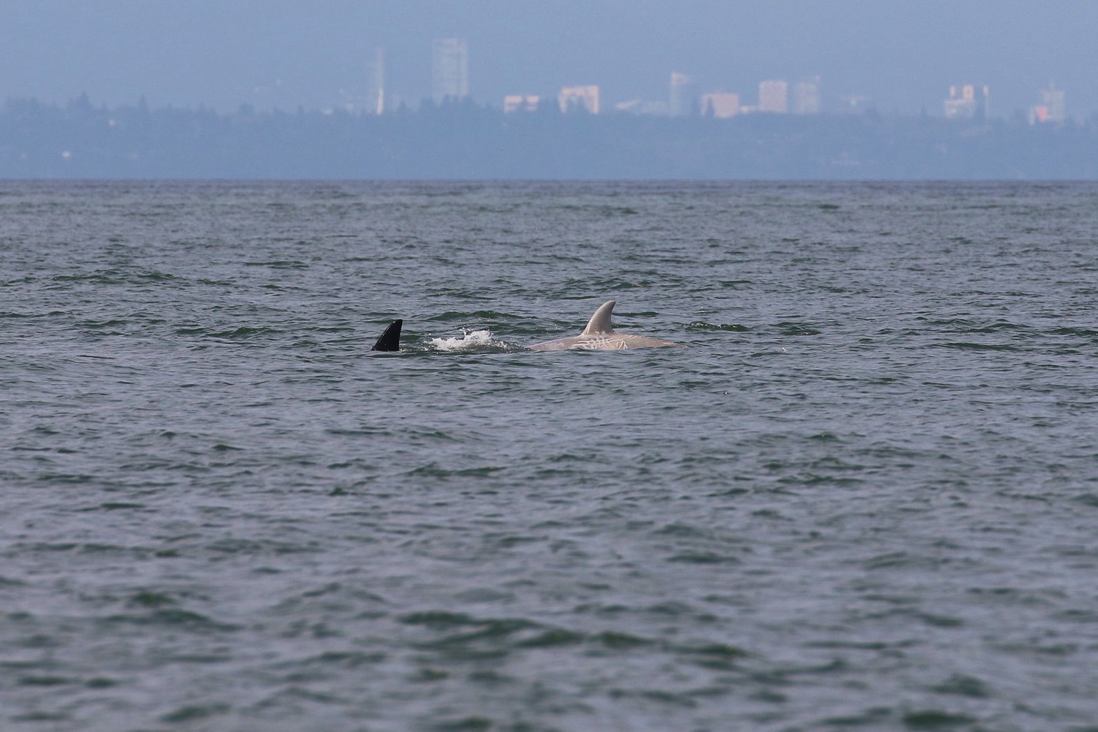 """T46B1B - """"Tl'uk"""" compared to a typical orca's colouring. Photo by Ryan Uslu (3:30)."""