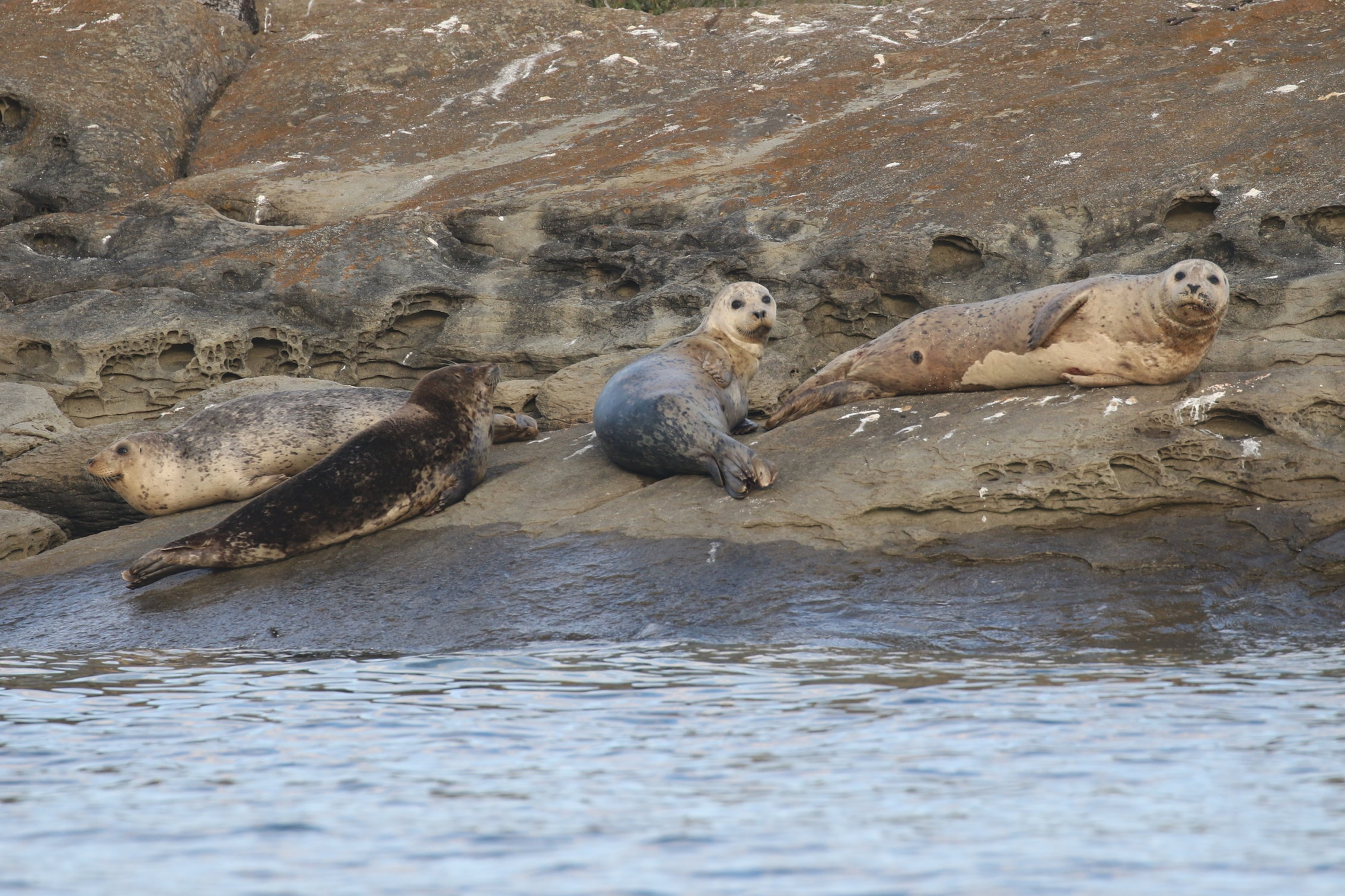 A bob of Harbour Seals a.k.a. Rock Sausages watching the boat curiously. Photo by Ryan Uslu (3:30).