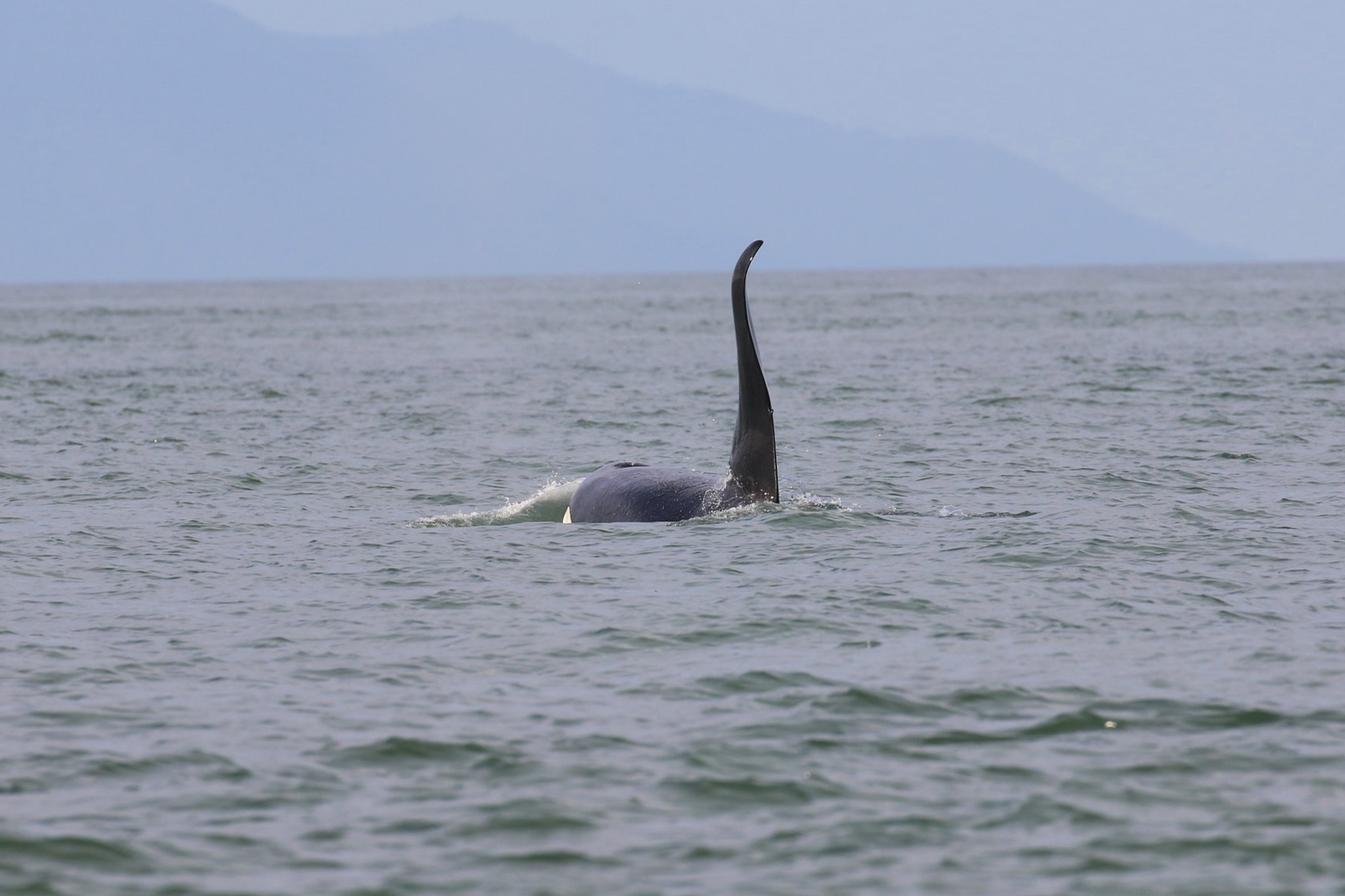 """Male orca's dorsal fins may become curved with age like T46E - """"Camillo"""" here. Photo by Ryan Uslu (3:30)."""