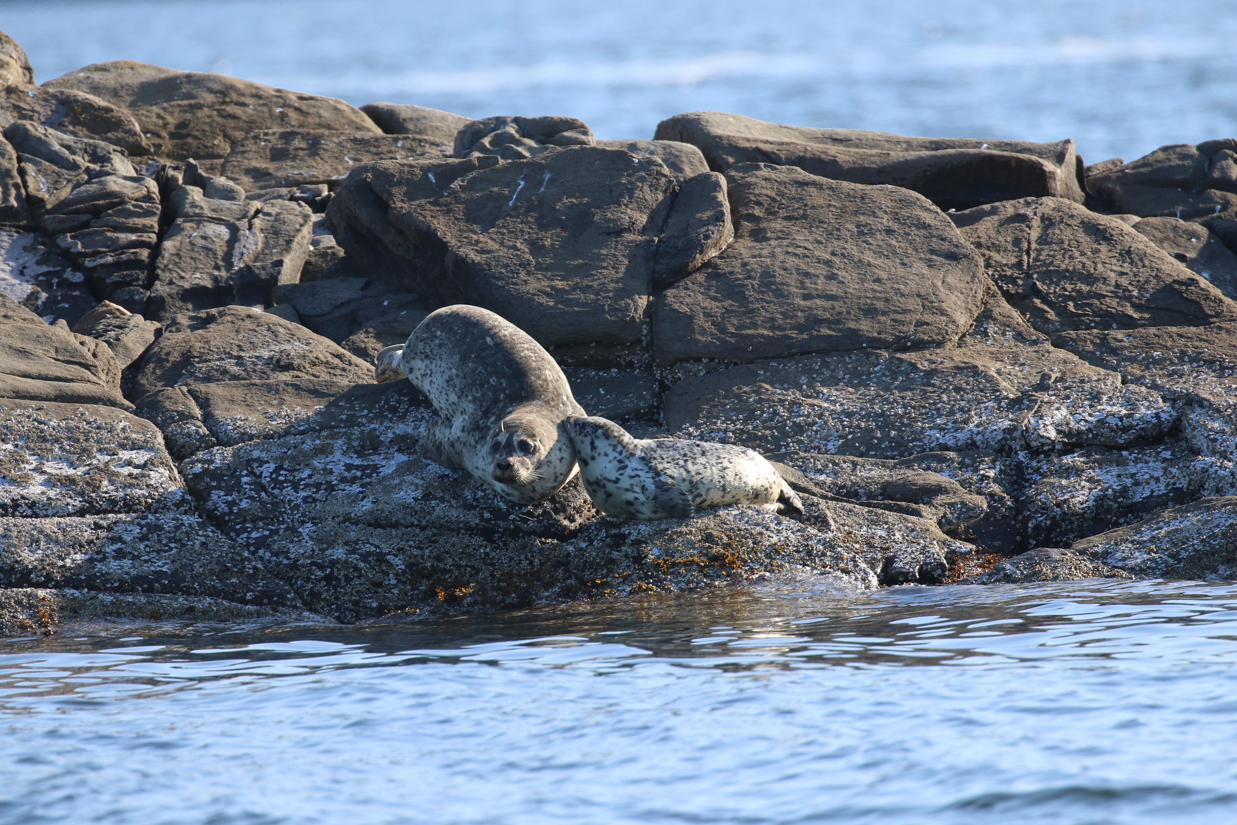 Harbour seal mother and pup. Photo by Ryan Uslu (3:30).