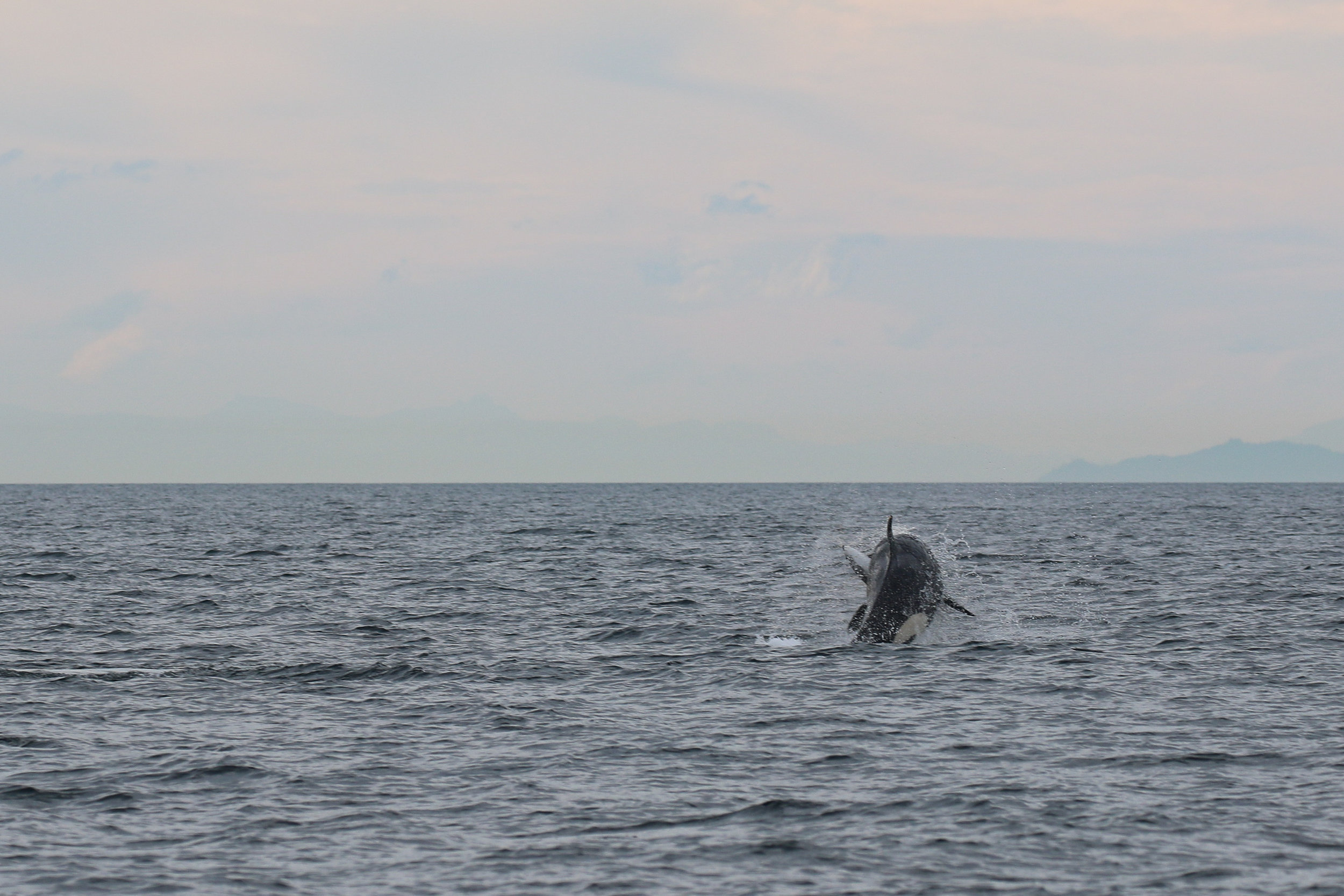Orca with a porpoise in it's mouth! Photo by Rodrigo (3:30)
