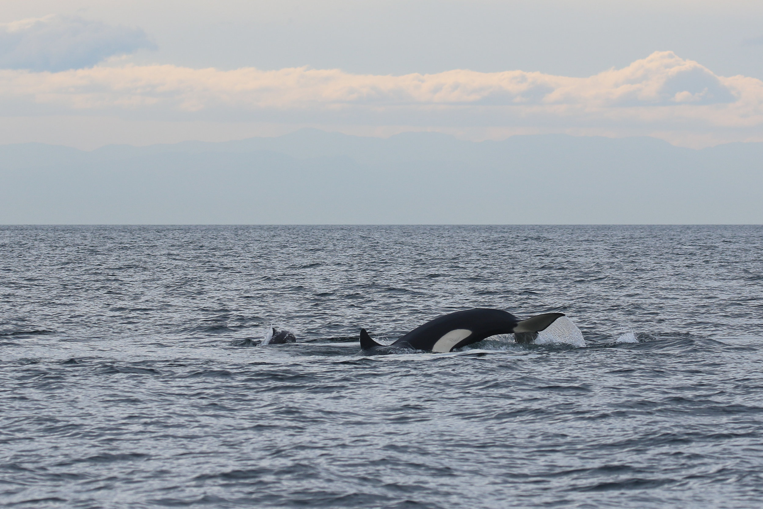 Look how small the porpoise is next to the smallish orca! Photo by Rodrigo (3:30)