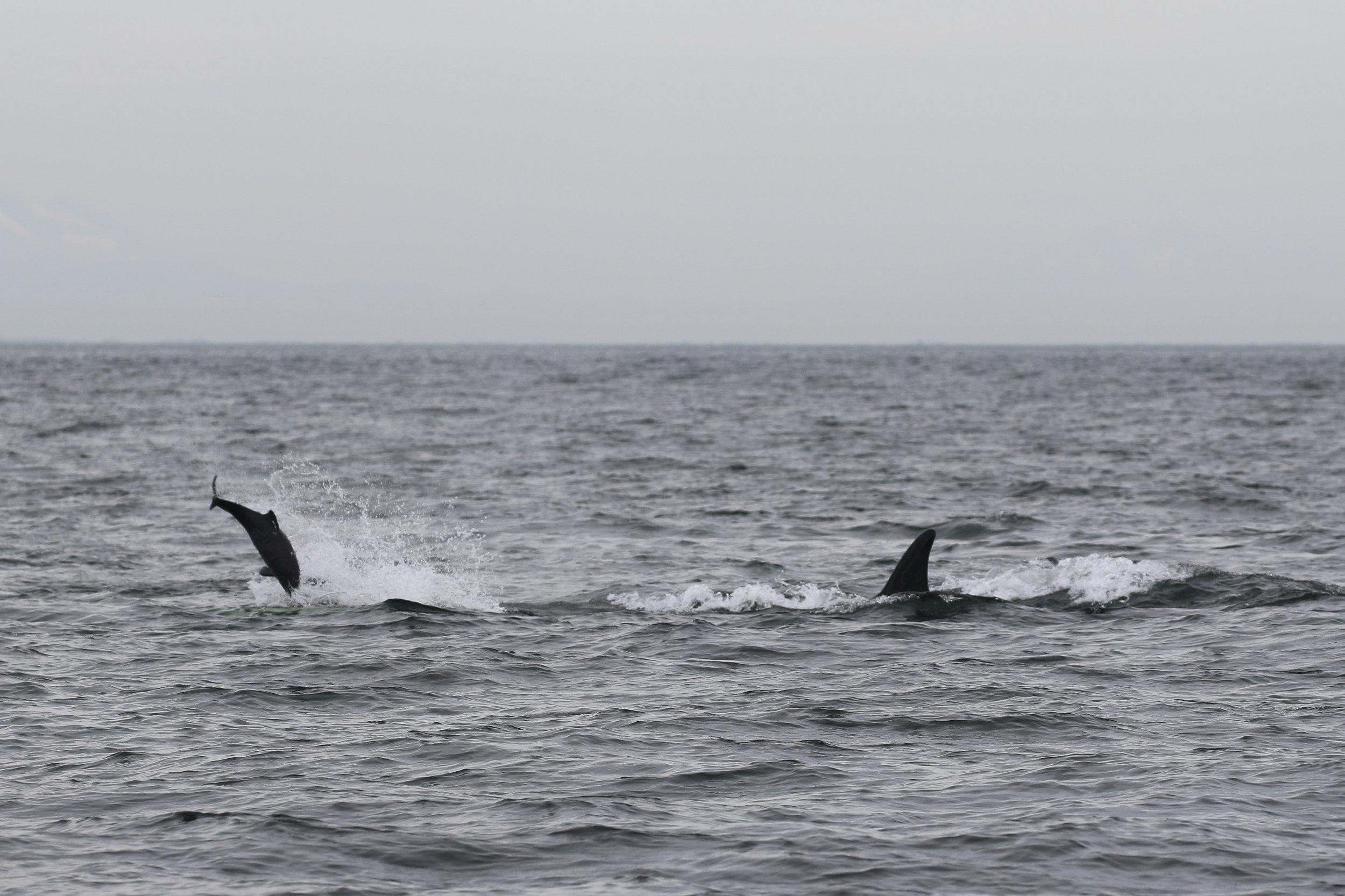 Harbour porpoise being tossed around! Photo by Rodrigo (3:30)