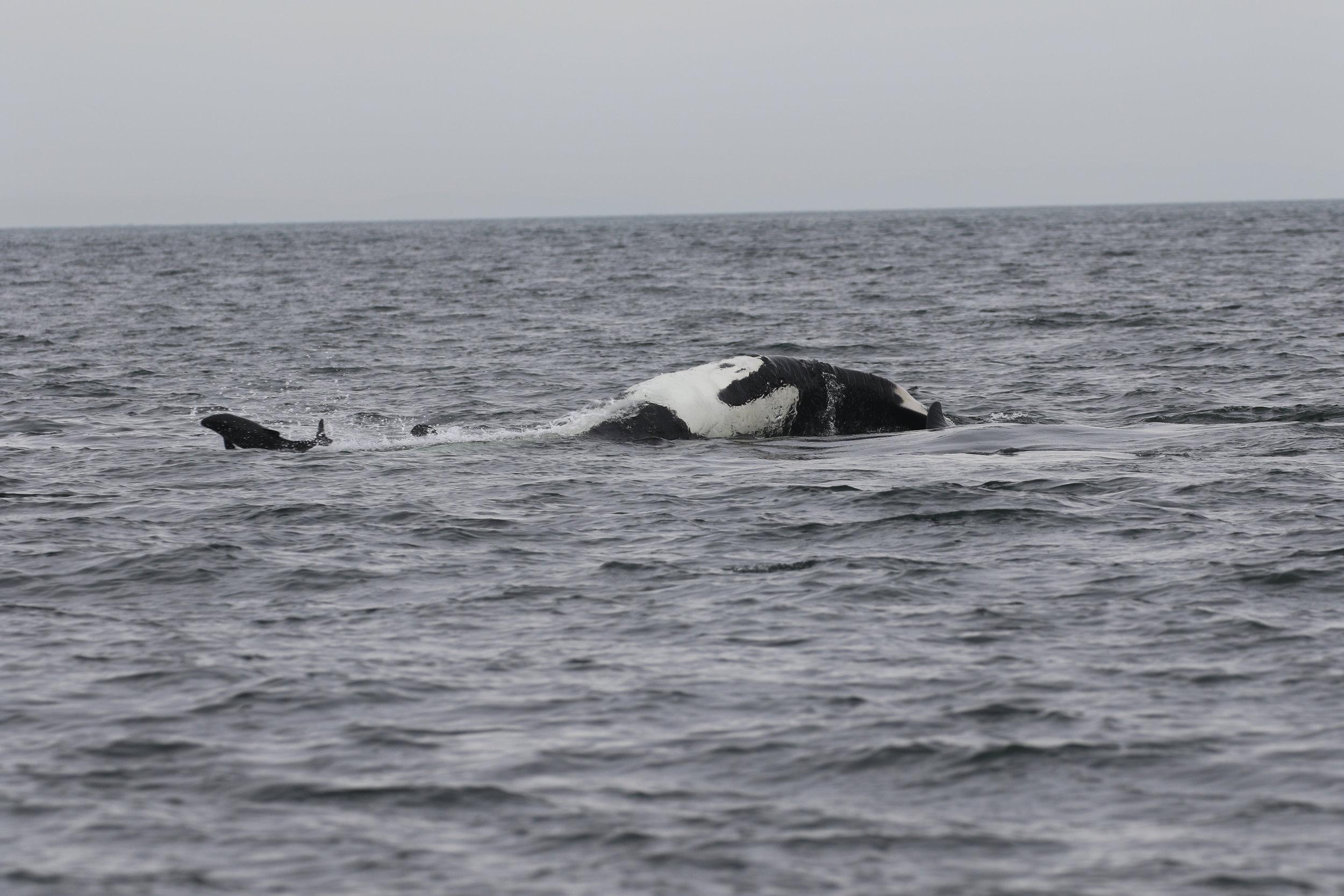 Porpoise vs orca! Rodrigo 3:30