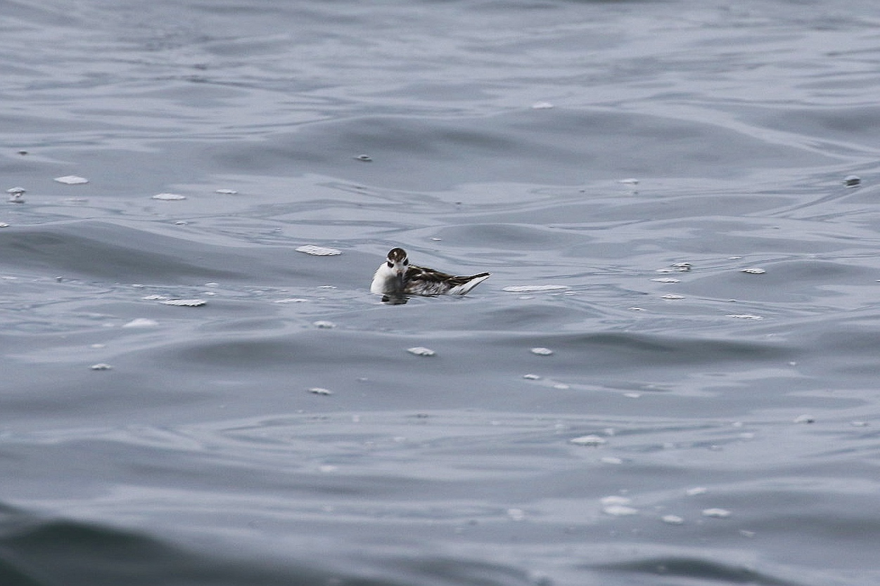 A juvenile Red-Necked Phalarope glaring at one of our boats! Photo by Natalie Reichenbacher (10:30).