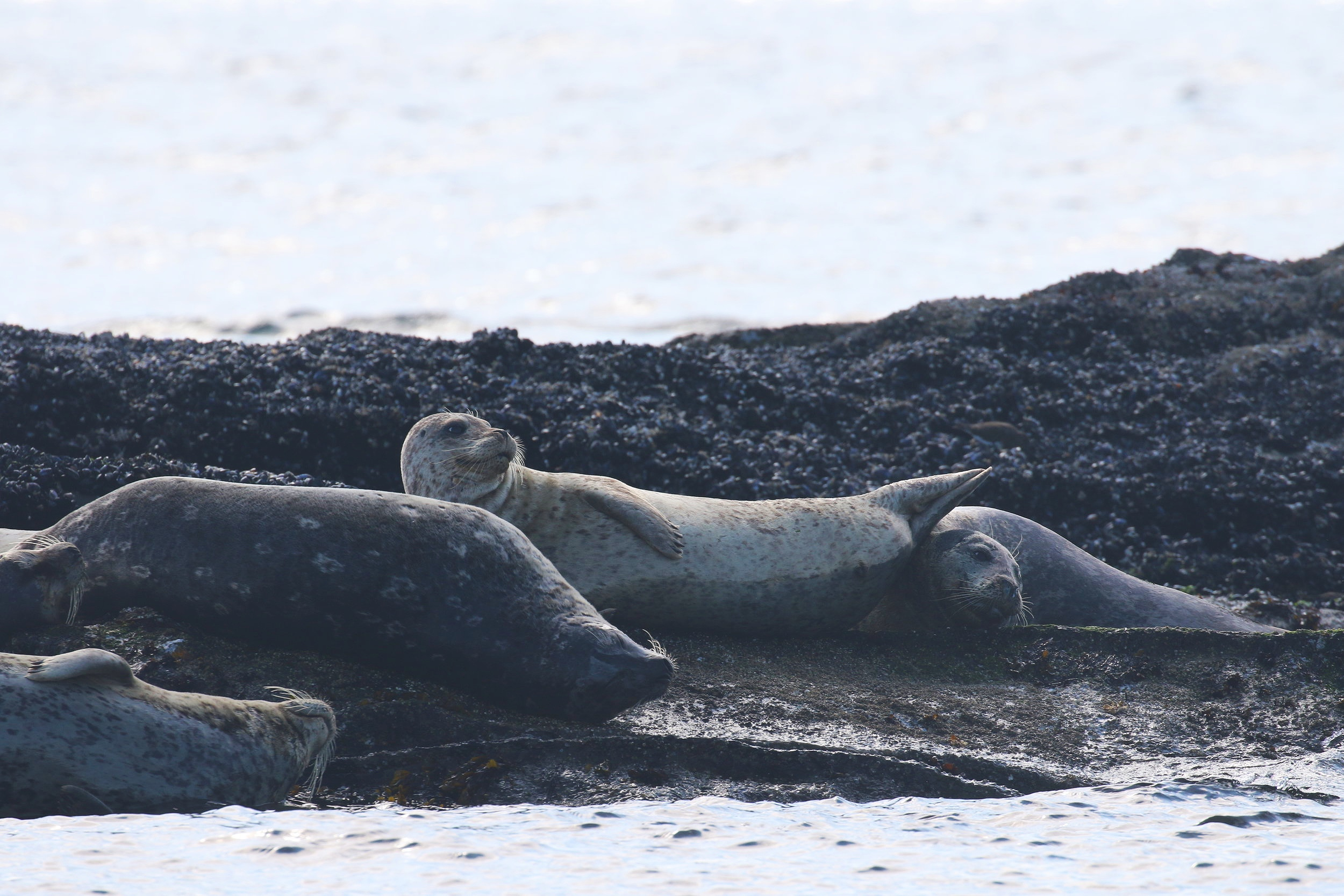 Our friendly neighbourhood Rock Sausages AKA Harbour Seals laying on the rocks. Photo by Rebeka Pirker (3:30).