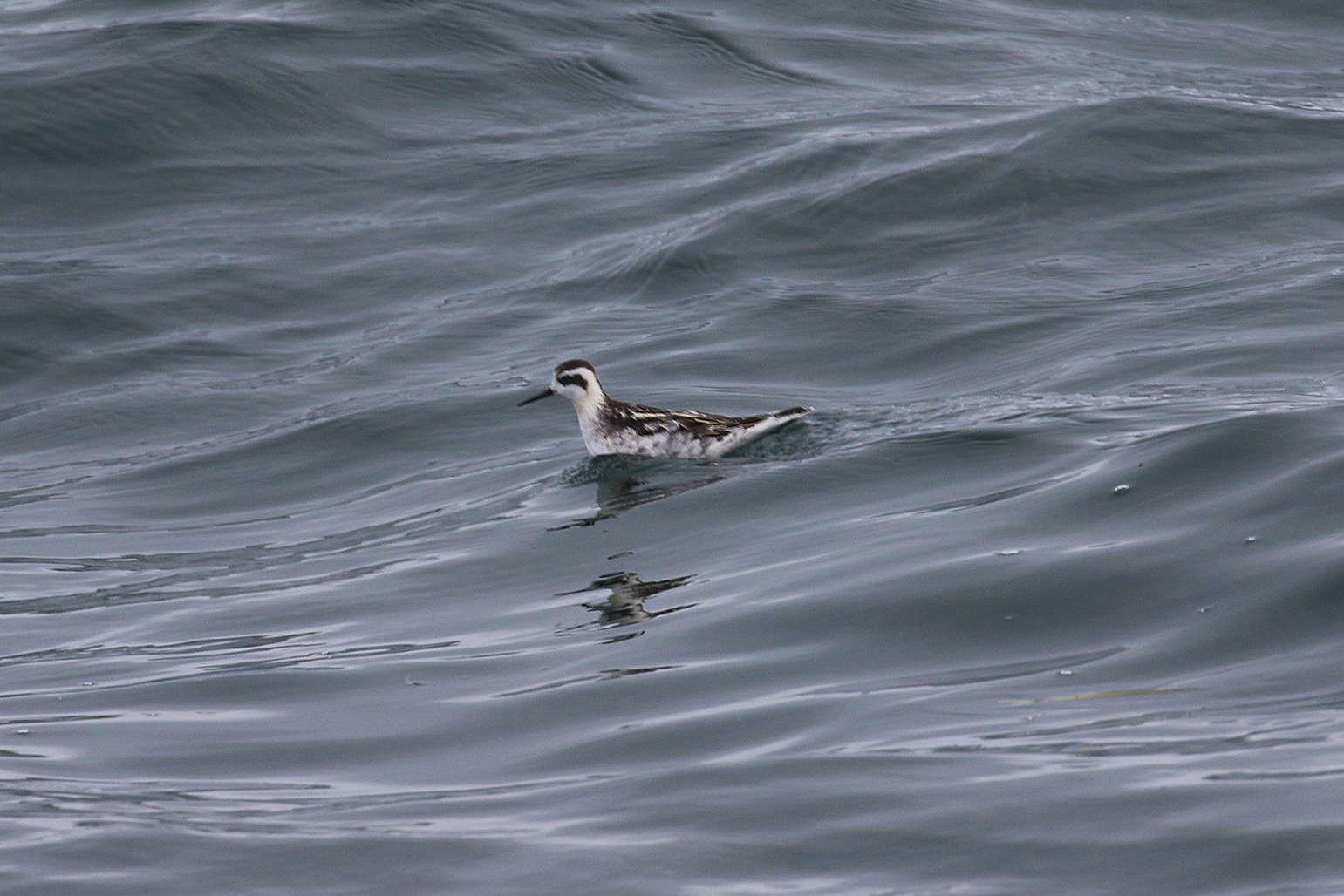 A juvenile Red-Necked Phalarope. Photo by Natalie Reichenbacher (3:30).