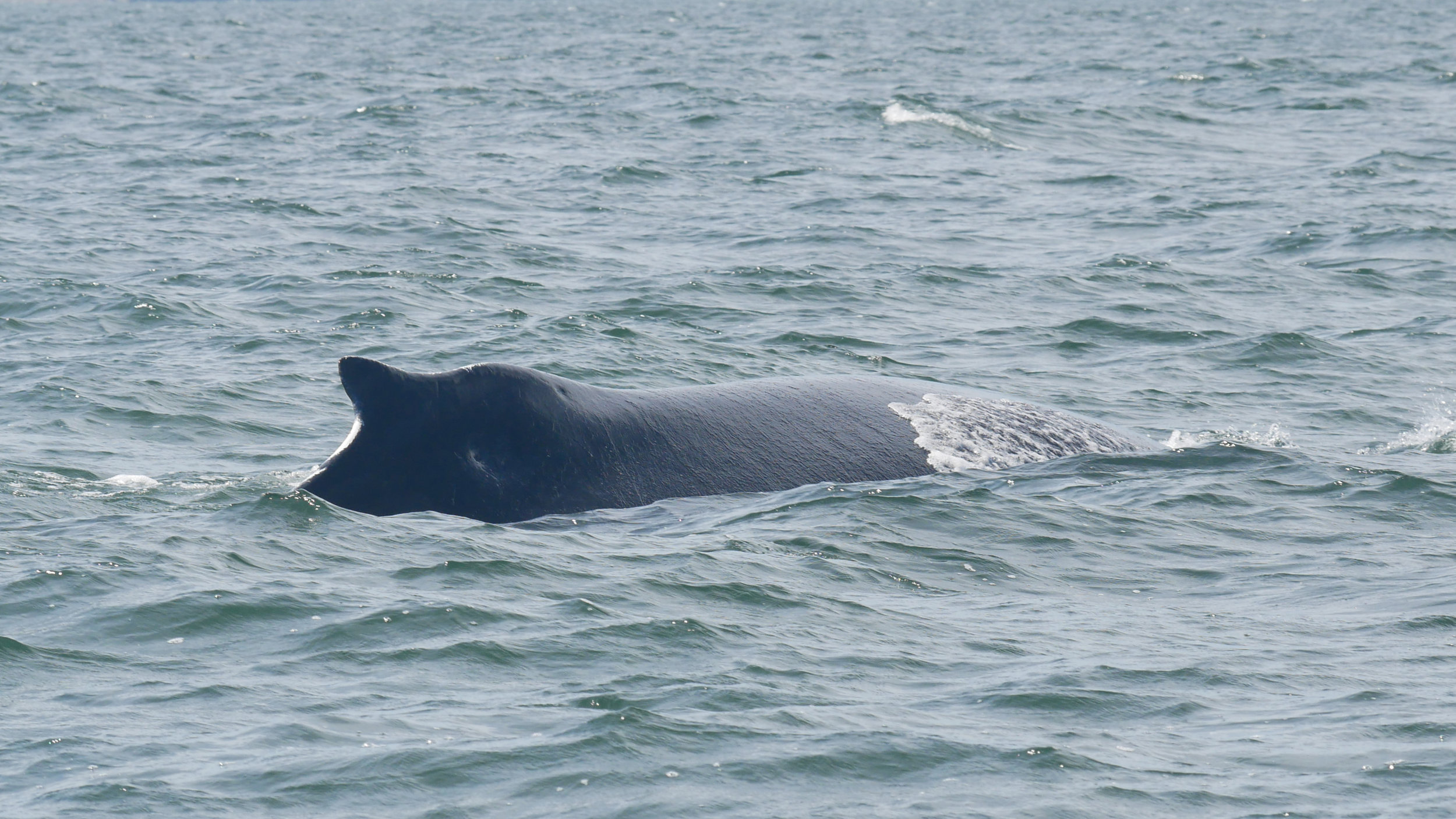 A humpback showing off their namesake! Such funny little dorsal fins. Photo by Rebeka Pirker.