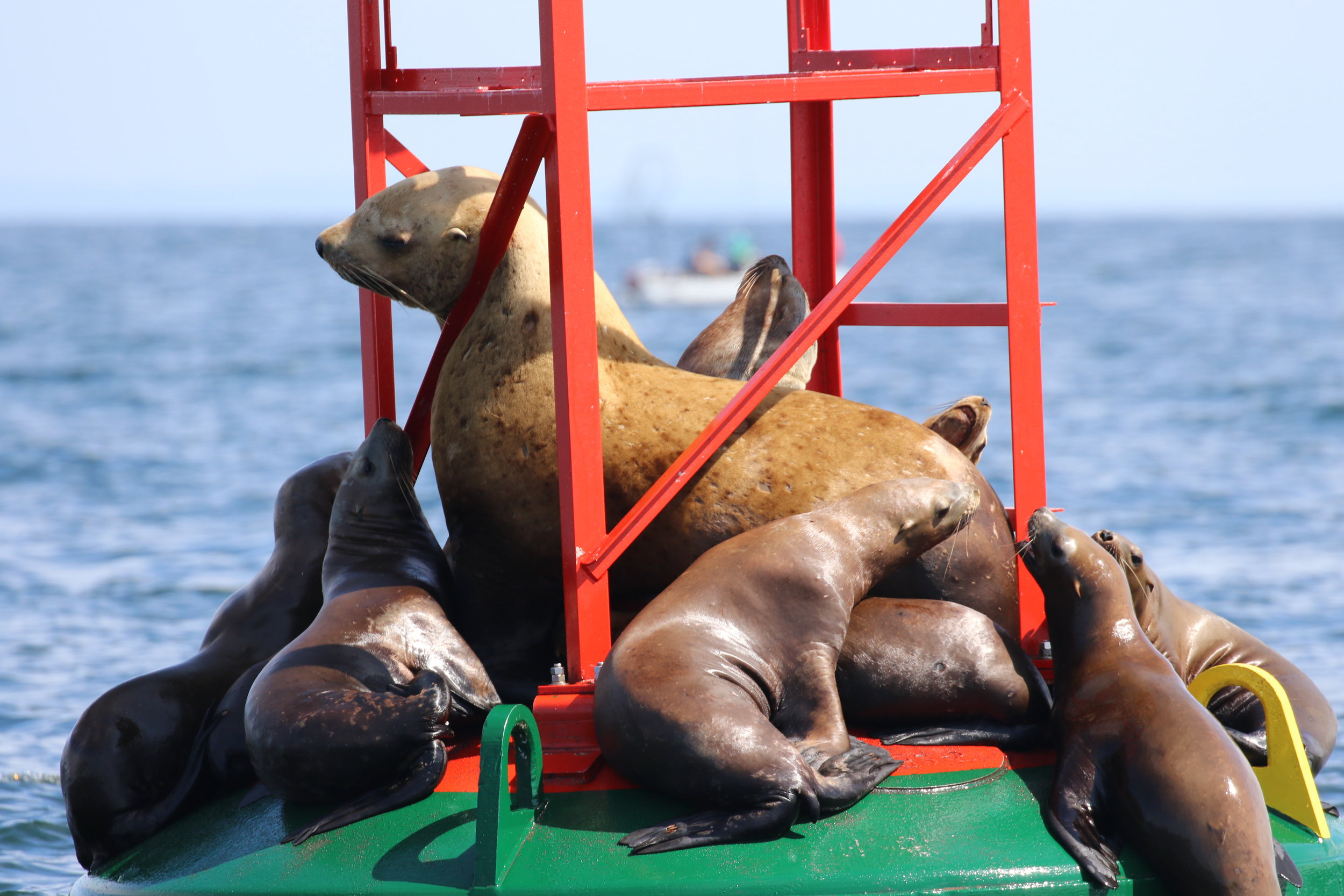 Huge male steller sea lion (middle) with some females. Photo by Val Watson (10:30).