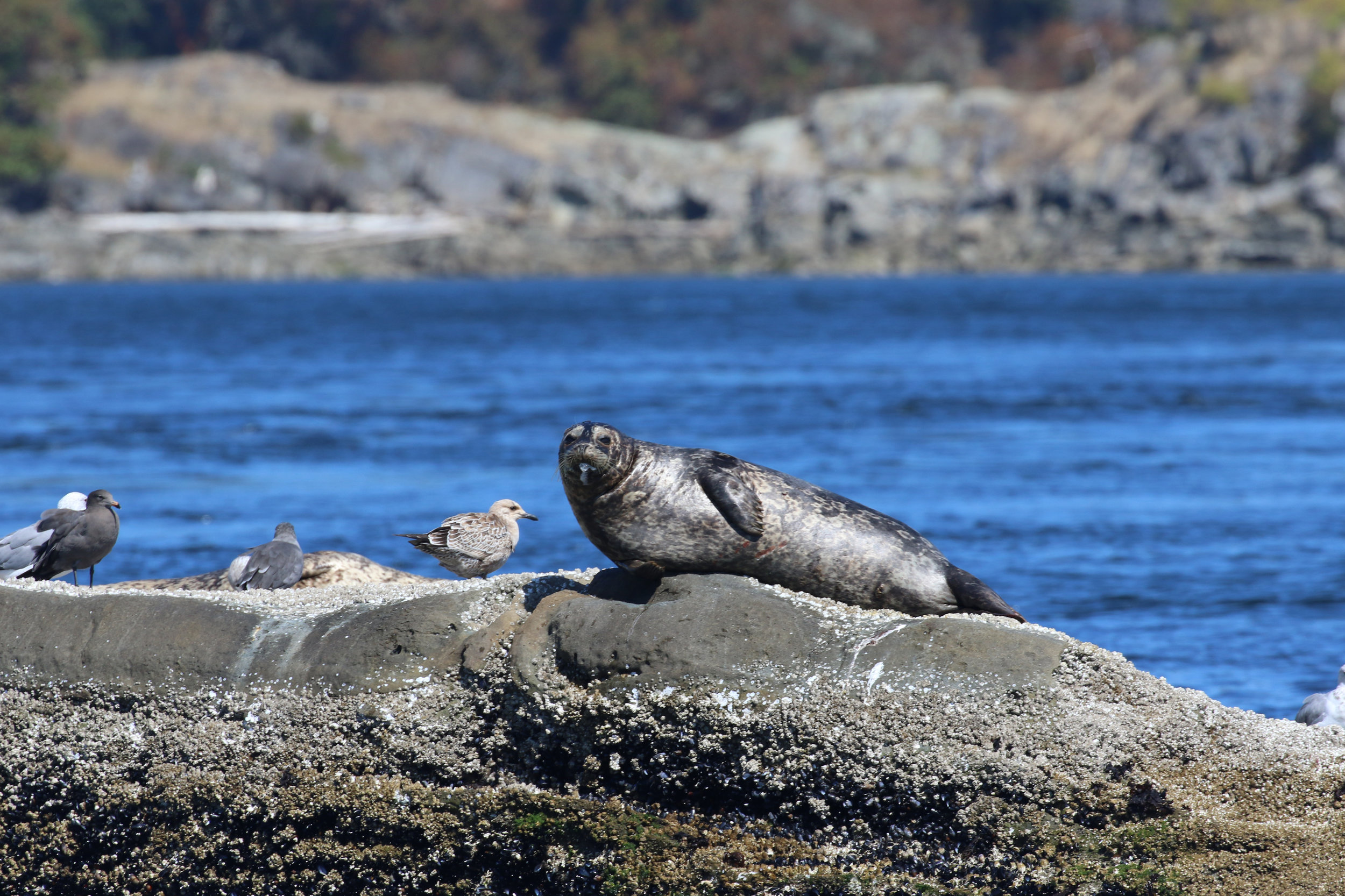 We stopped at a seal haulout on the way home! Photo by Rebeka Pirker