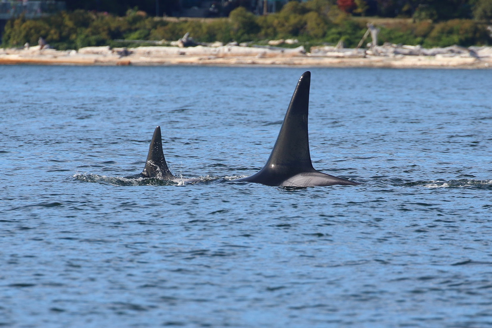 """T101 - """"Reef"""" (left) and her son T101B - """"Lagoon"""" (right). Notice the intricate scaring on Lagoon's saddle patch, making him easy to ID. Photo by Cheyenne Brewster (3:30)."""