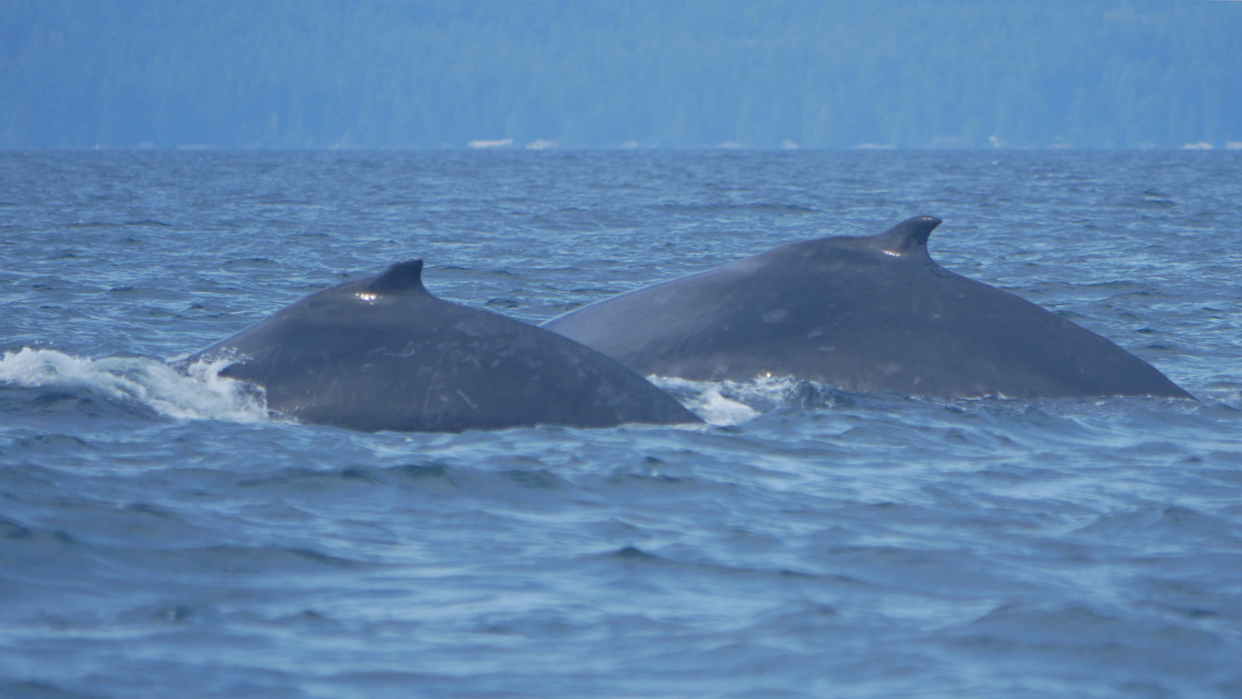 Slate (right) and her calf (left) diving together! Photo by Rebeka Pirker.