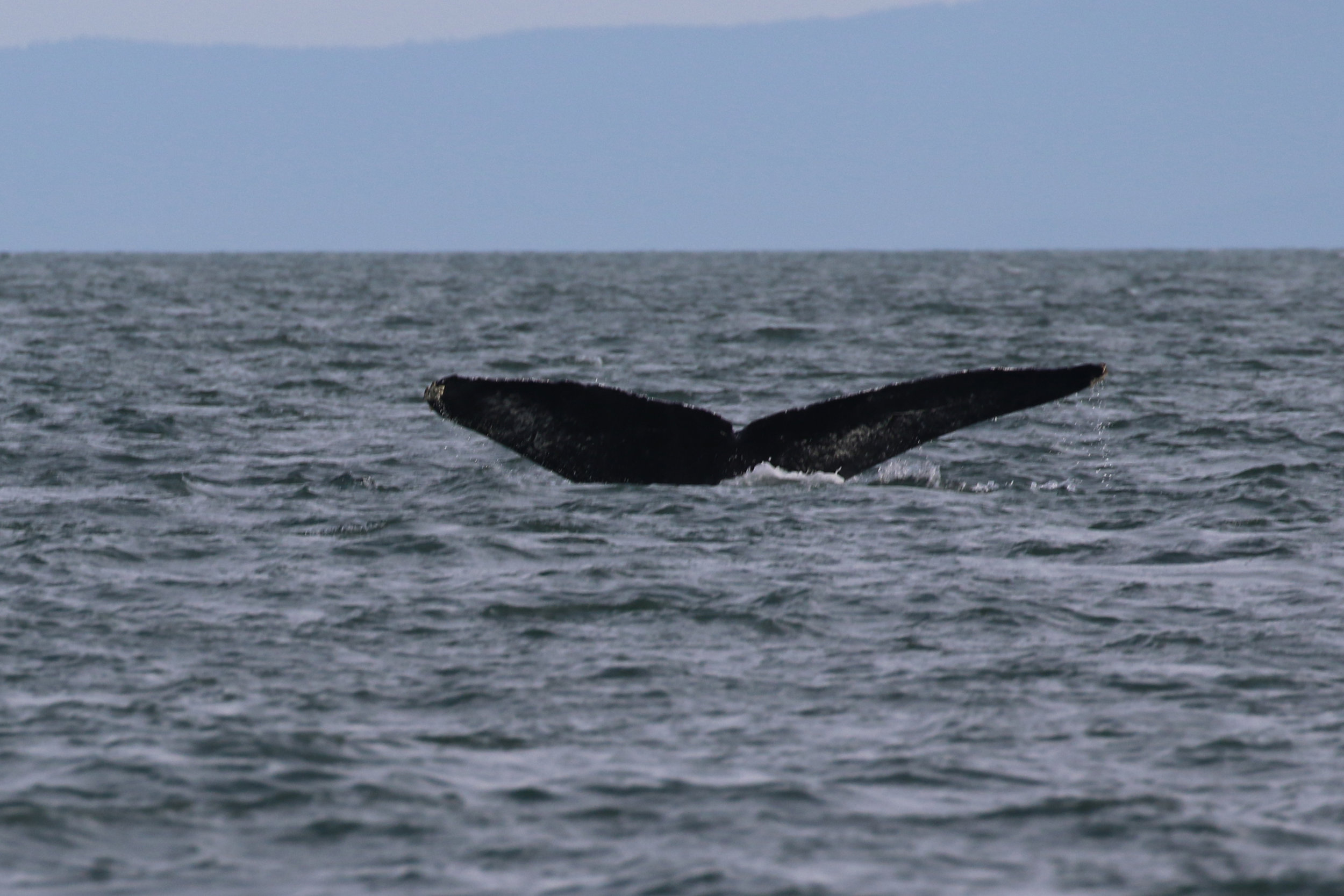 Fader the humpback whale! Photo by Ryan Uslu.