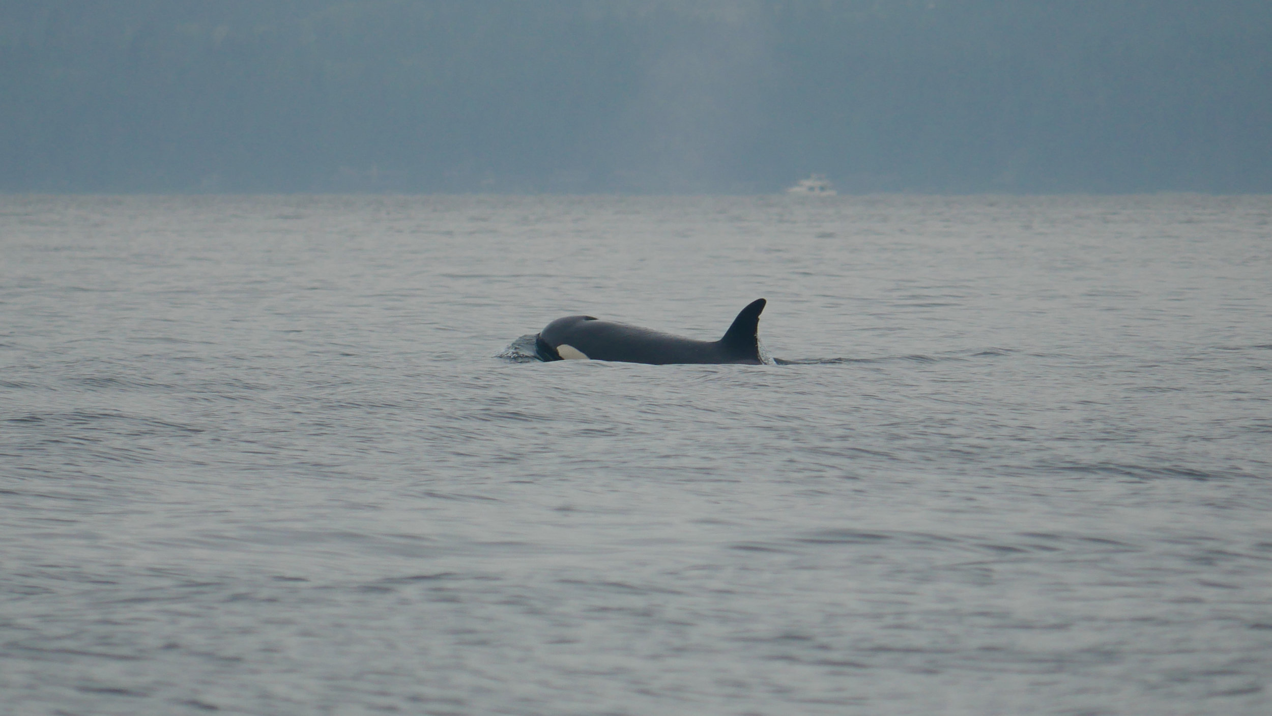 """T137D """"Wright"""" travelling through the water. Note the nicks out of the dorsal fin near the tip. Photo by Rebeka Pirker."""
