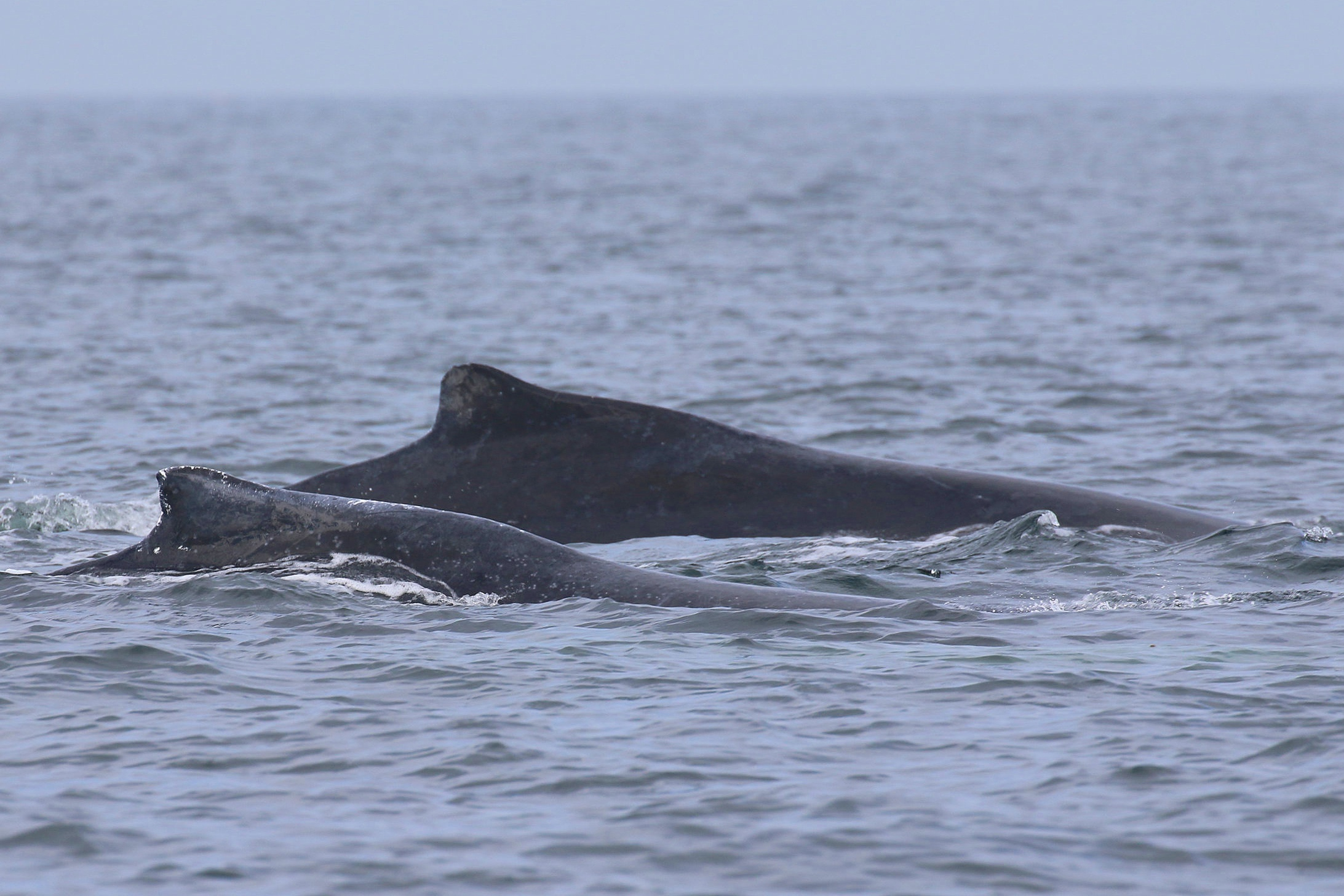 Beak in the foreground and our Mystery whale in the background. Photo by Cheyenne Brewster (10.30)