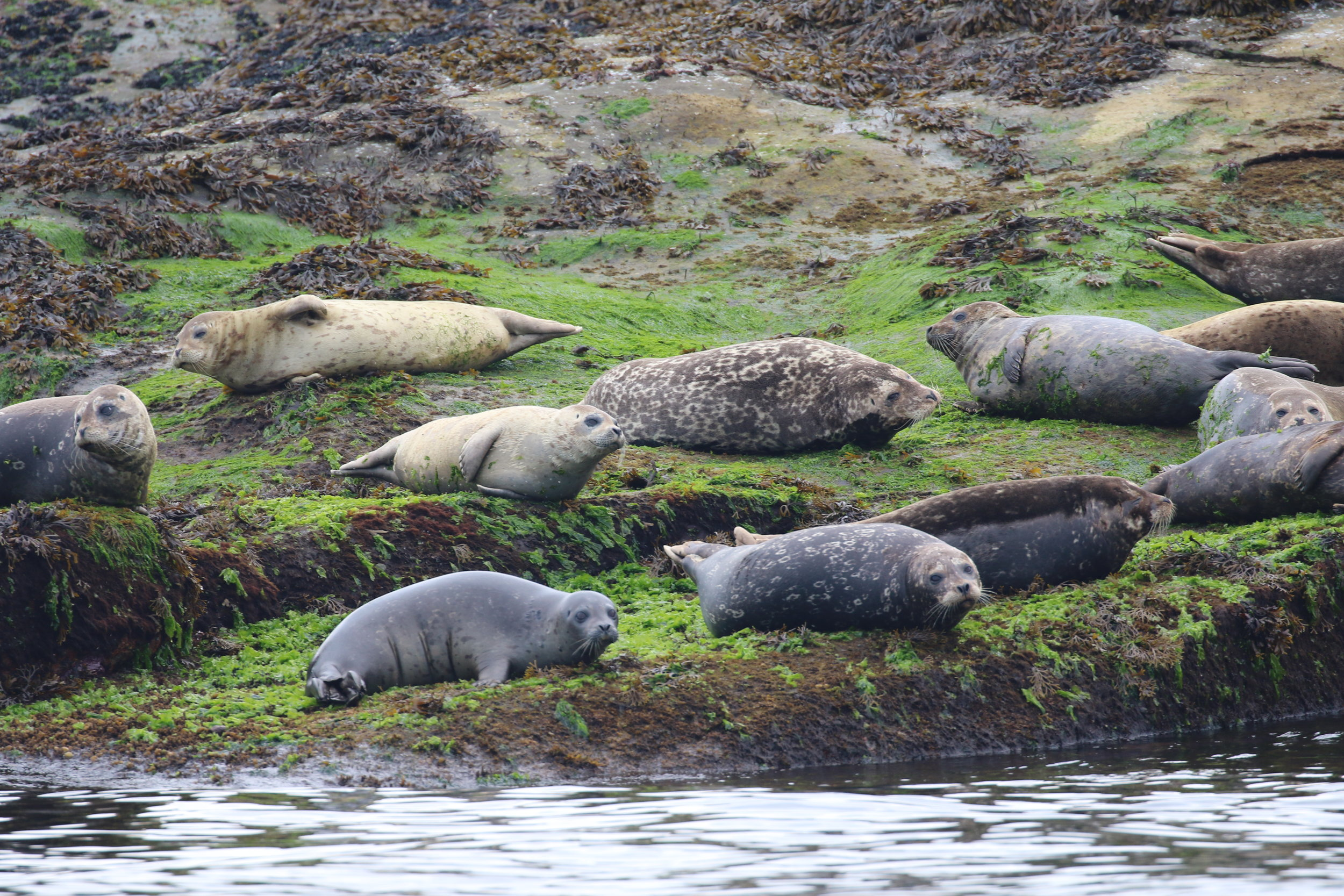 Seals at a haul-out zone. Photo by Ryan Uslu (10:30).