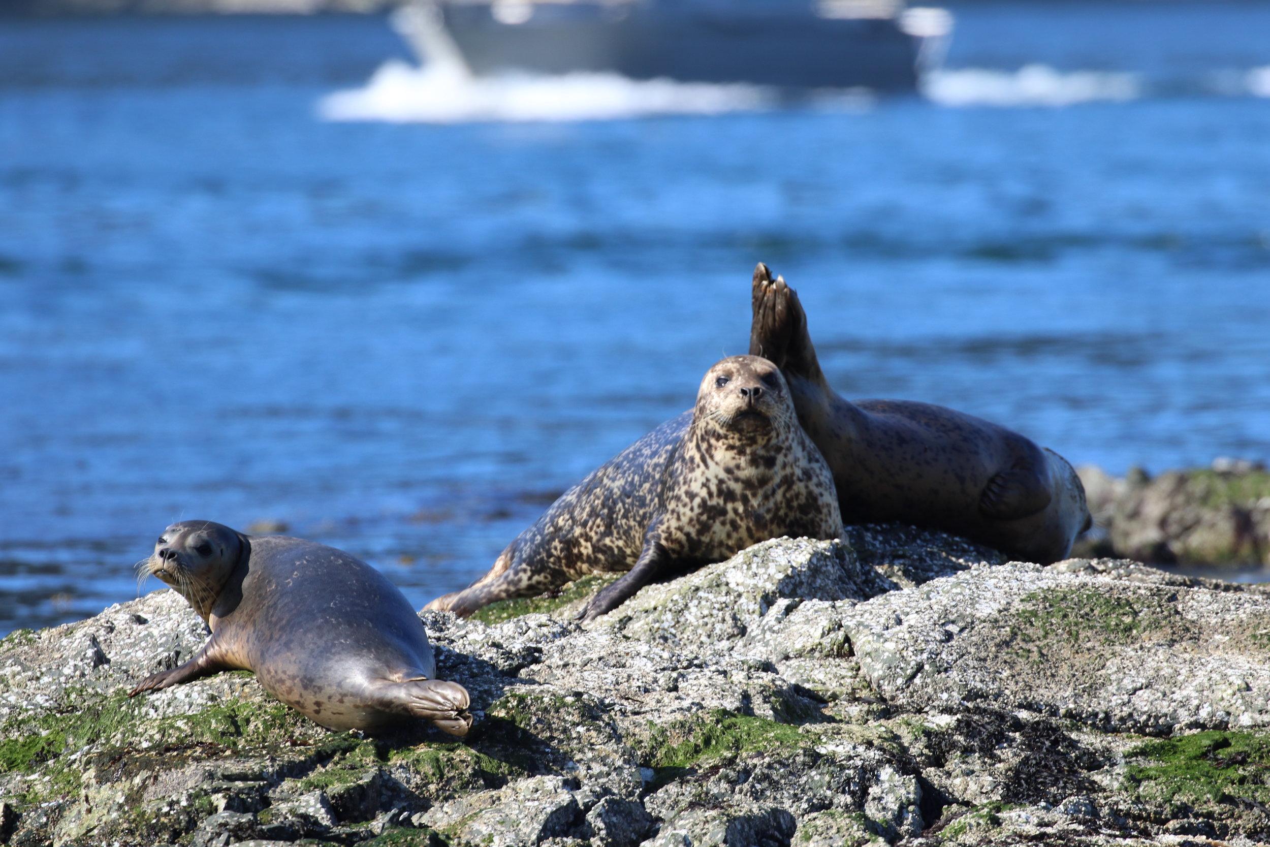 Some harbour seals. Photo by Ryan Uslu (3:30).