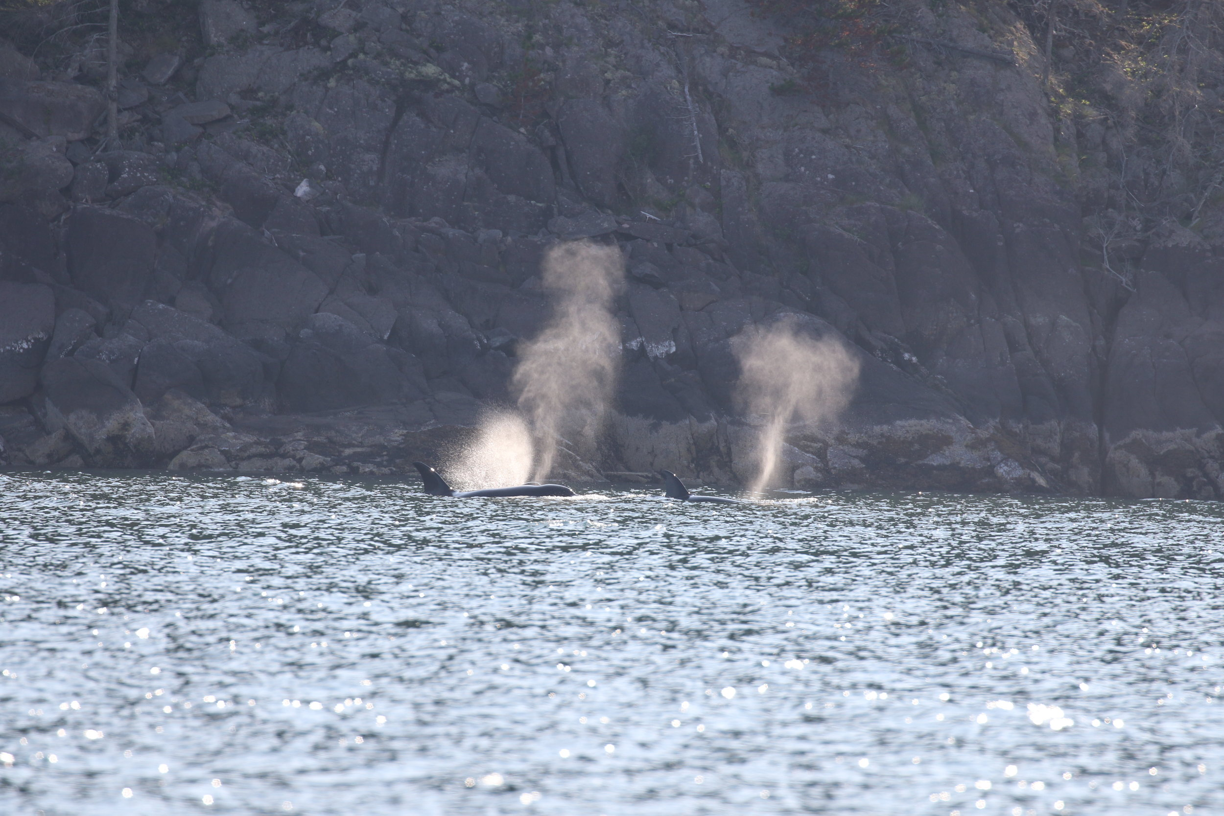 The whales hugging the shore line in Howe Sounds. Photo by Rebeka Pirker (3.30)
