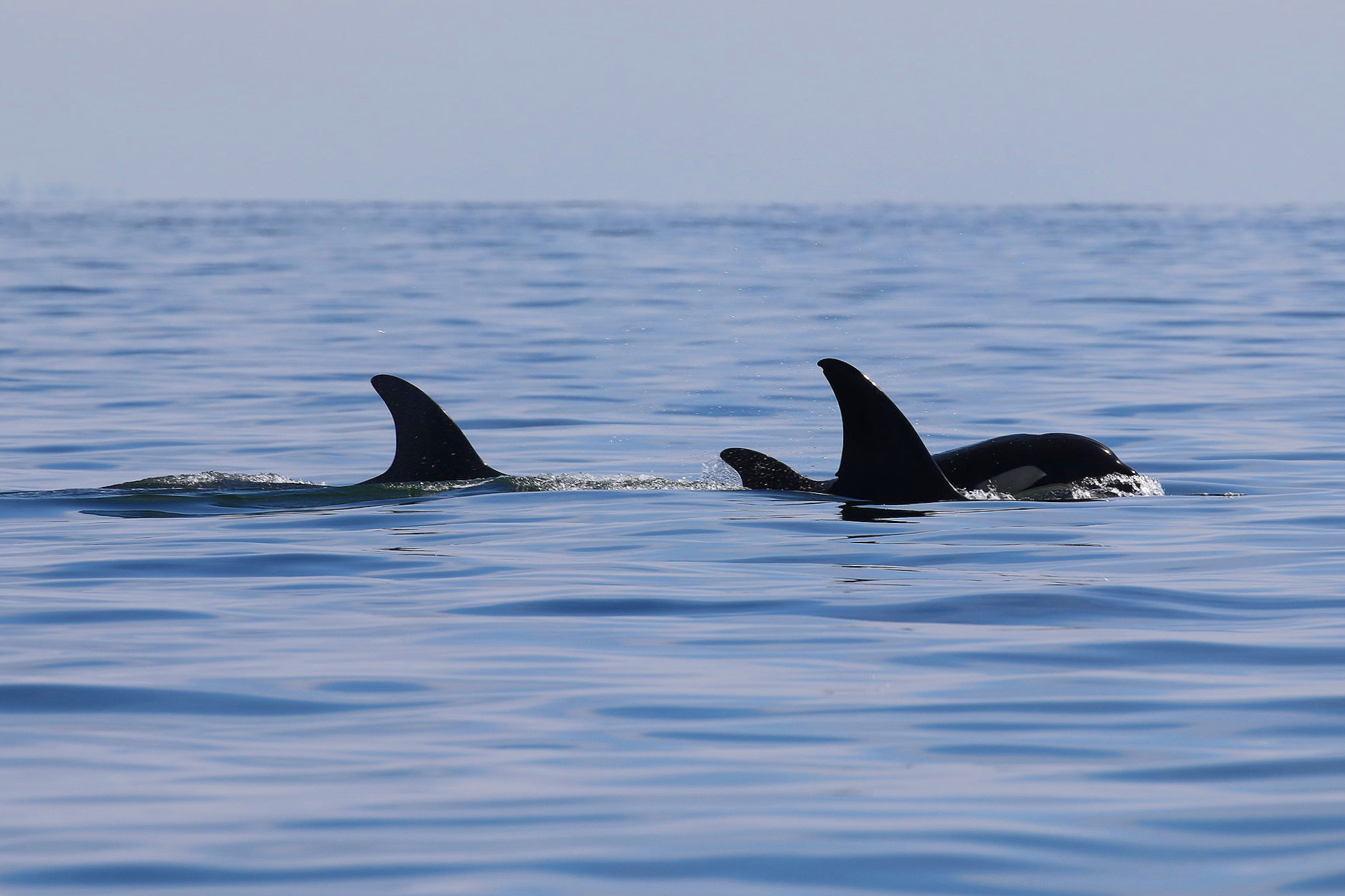 Left to right: T36B2 (Greenfelder), T36B3, and their mother T36B (Tattertip). Photo by Cheyenne Brewster (10:30).