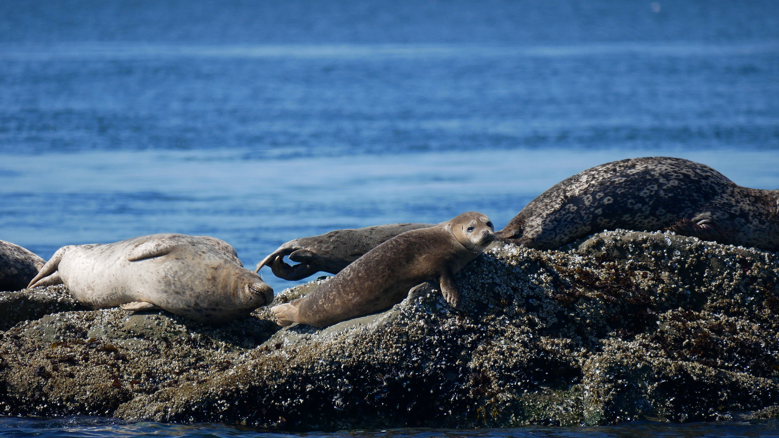 Harbour seals relaxing on the rocks. Photo by Rebeka Pirker (10:30).
