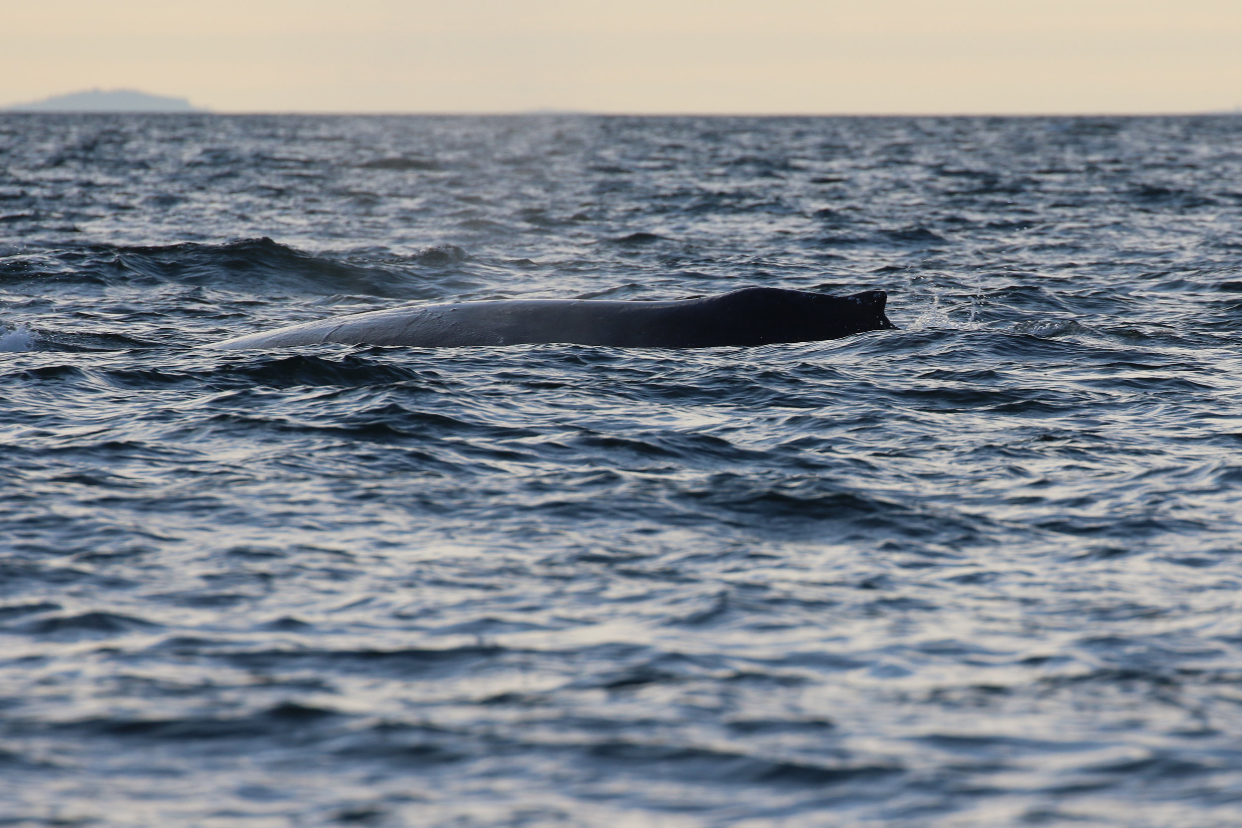 A mystery humpback surfacing in the sunset.