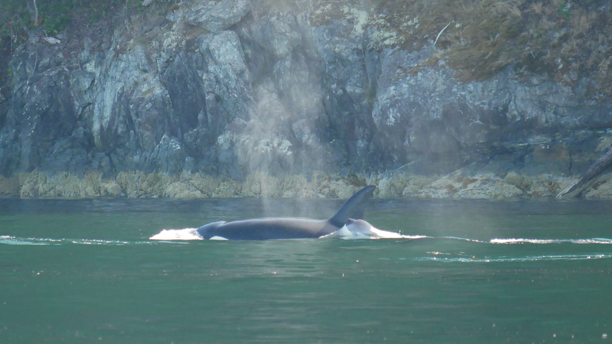 """T036B """"Tattertip"""" and her one year old daughter T036B3 surfacing together. Check out that water tension! Photo by Val Watson."""