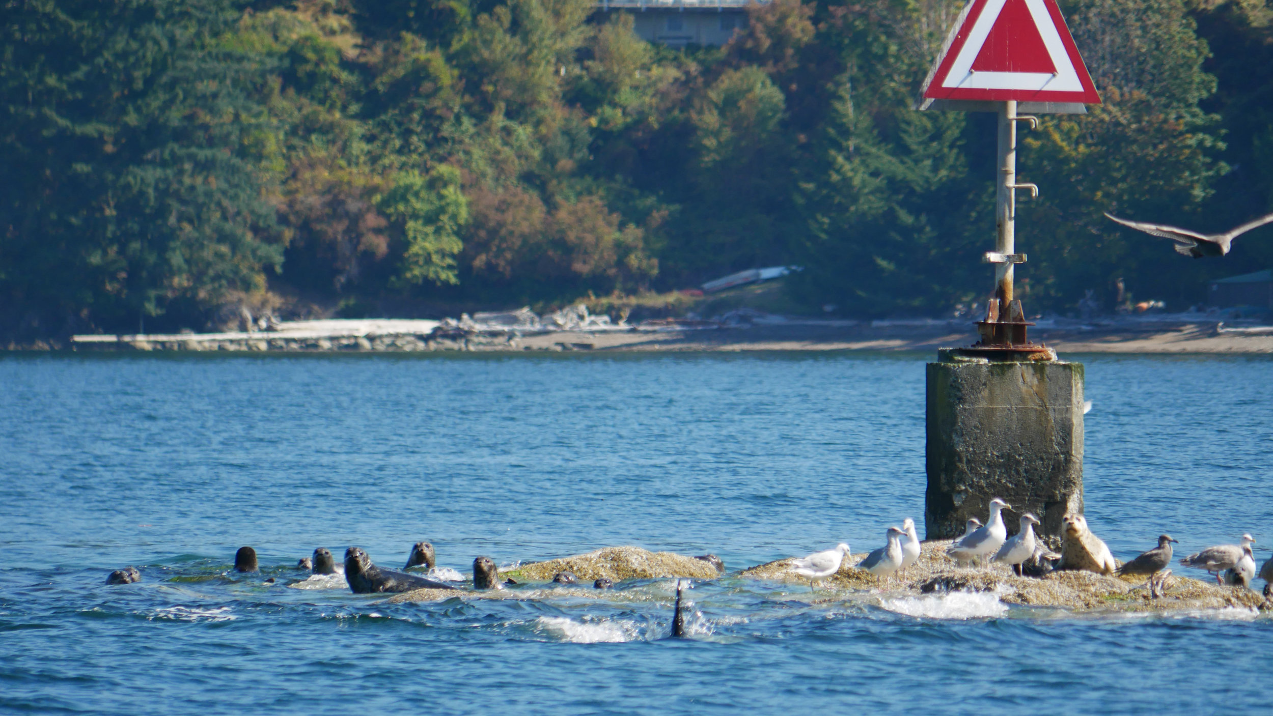Some very scared seals keeping an eye on the orca attackers! Photo by Val Watson.