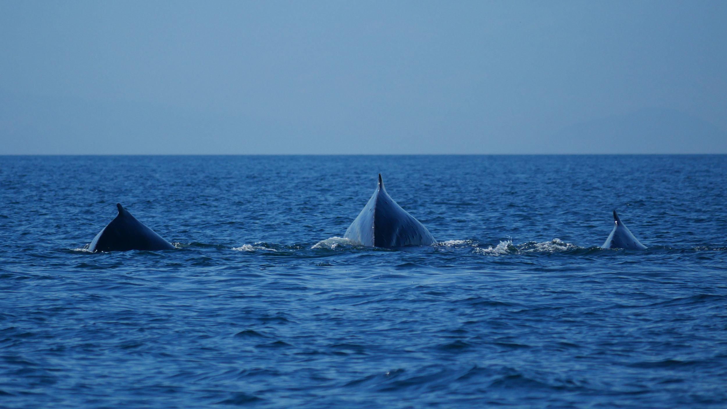 Triple humpback dives! Photo by Val Watson.