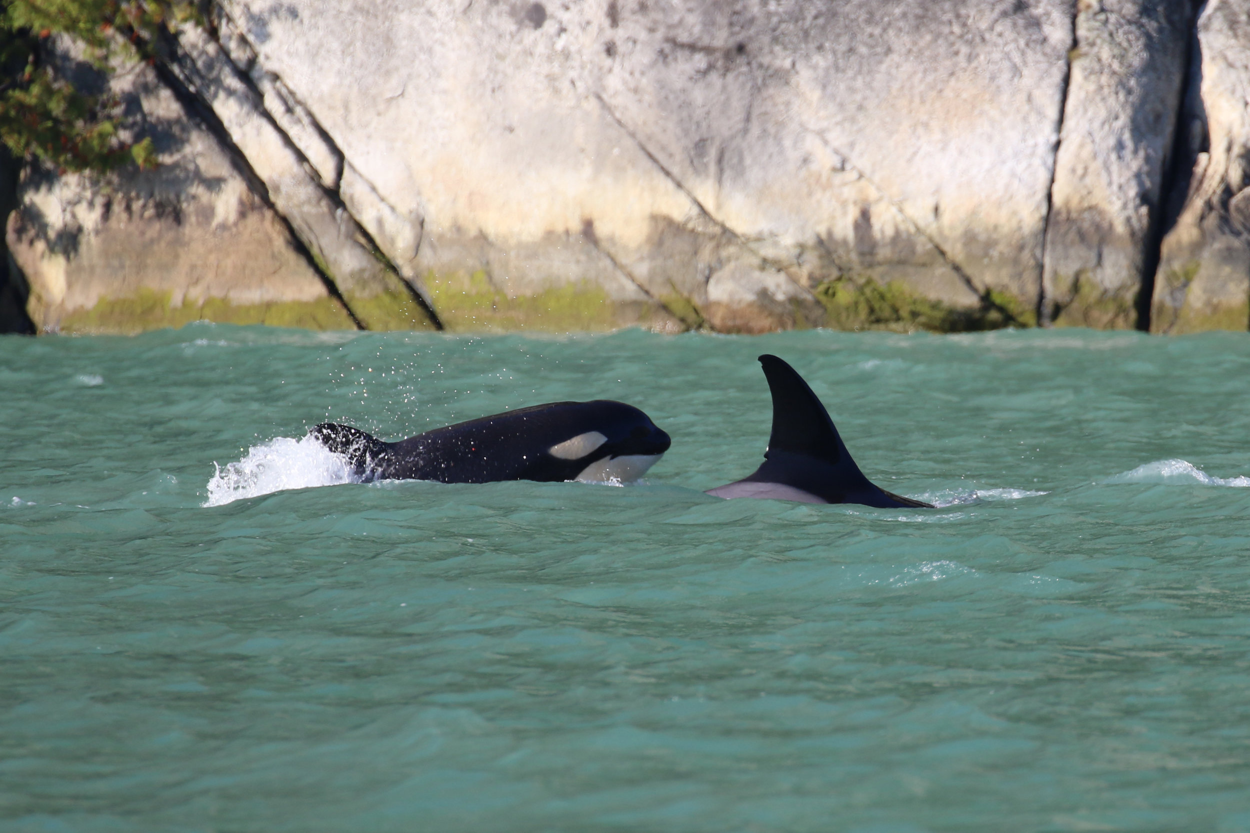 Little T036B3 surfacing with her mom! Photo by Val Watson.