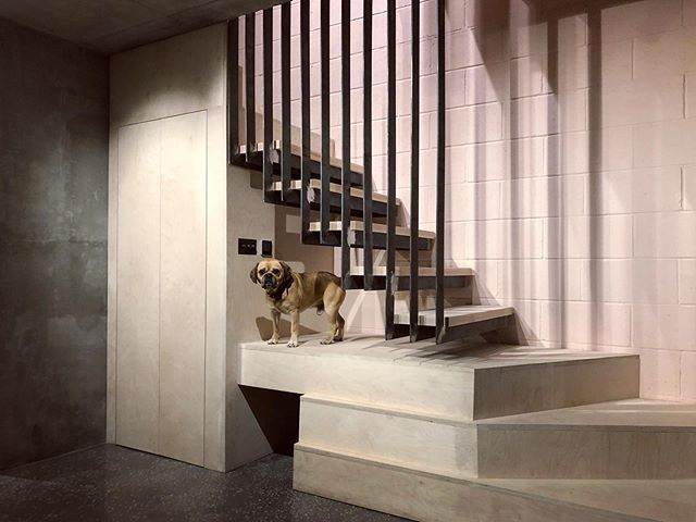 Hi, I'm Archidog and welcome to my crib. • #concretearchitecture #plywoodfurniture #stairsdesign #staircasedesign #stairporn #dogsofinstagram #selfbuild #newbuild #1200works @elliottwood_partnership #altusconstruction #birchply #architecture #architect #pugglesofinstagram #architectdeveloper @huggleandpuggle